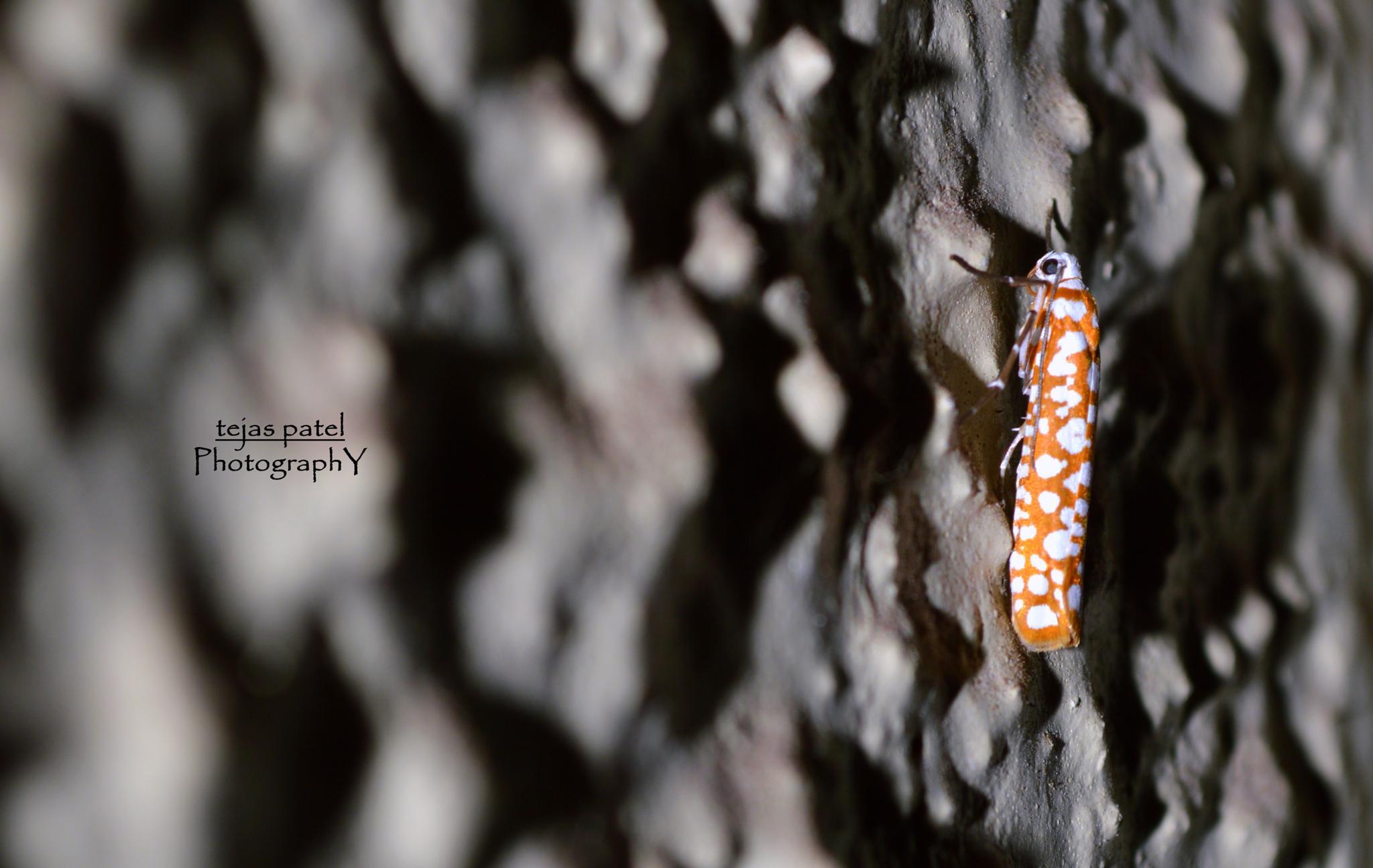 Ailanthus Webworm Moths by tejas.patel.9235199