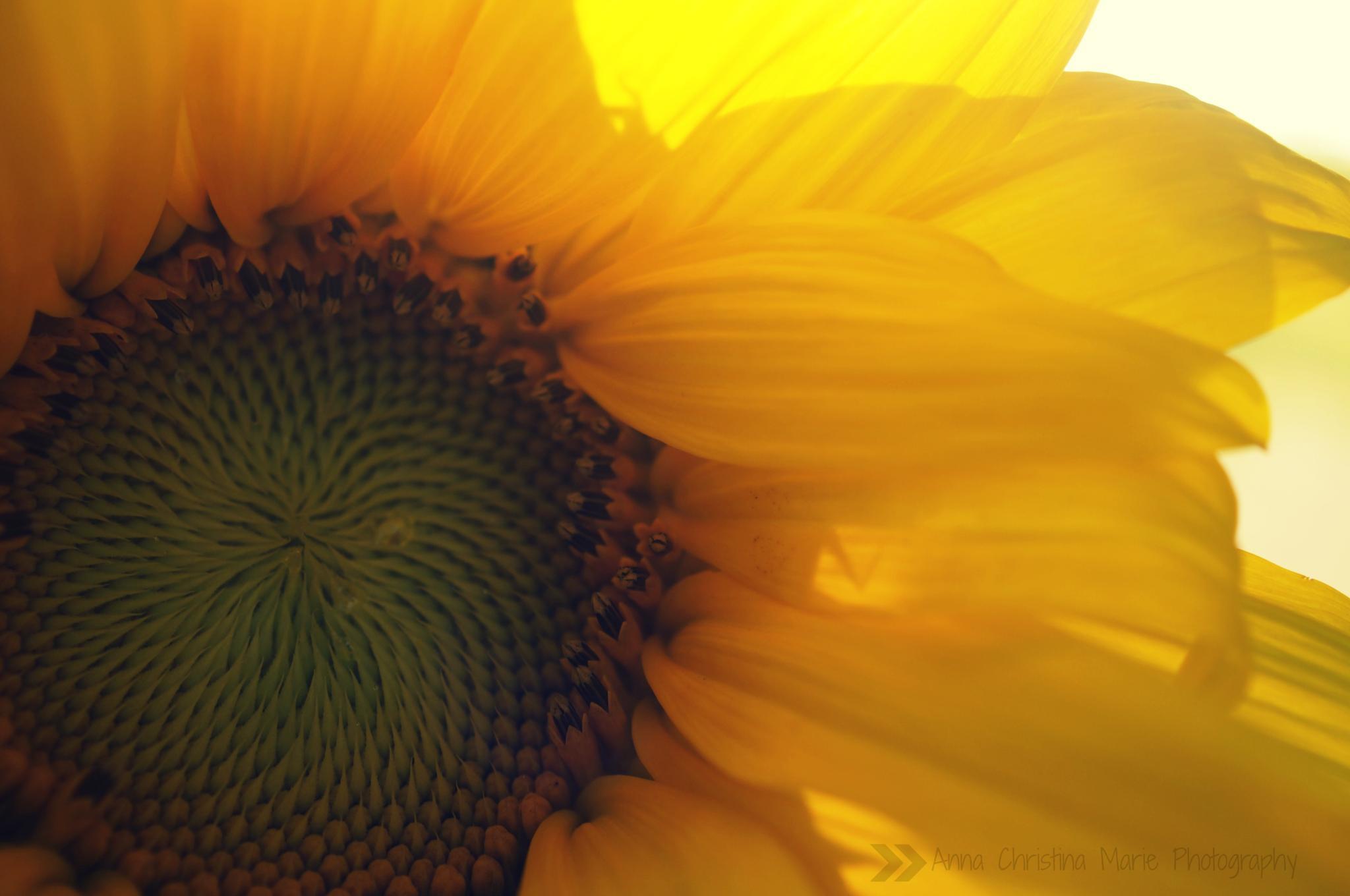 Sunflower Splendor  by Anna christina Marie