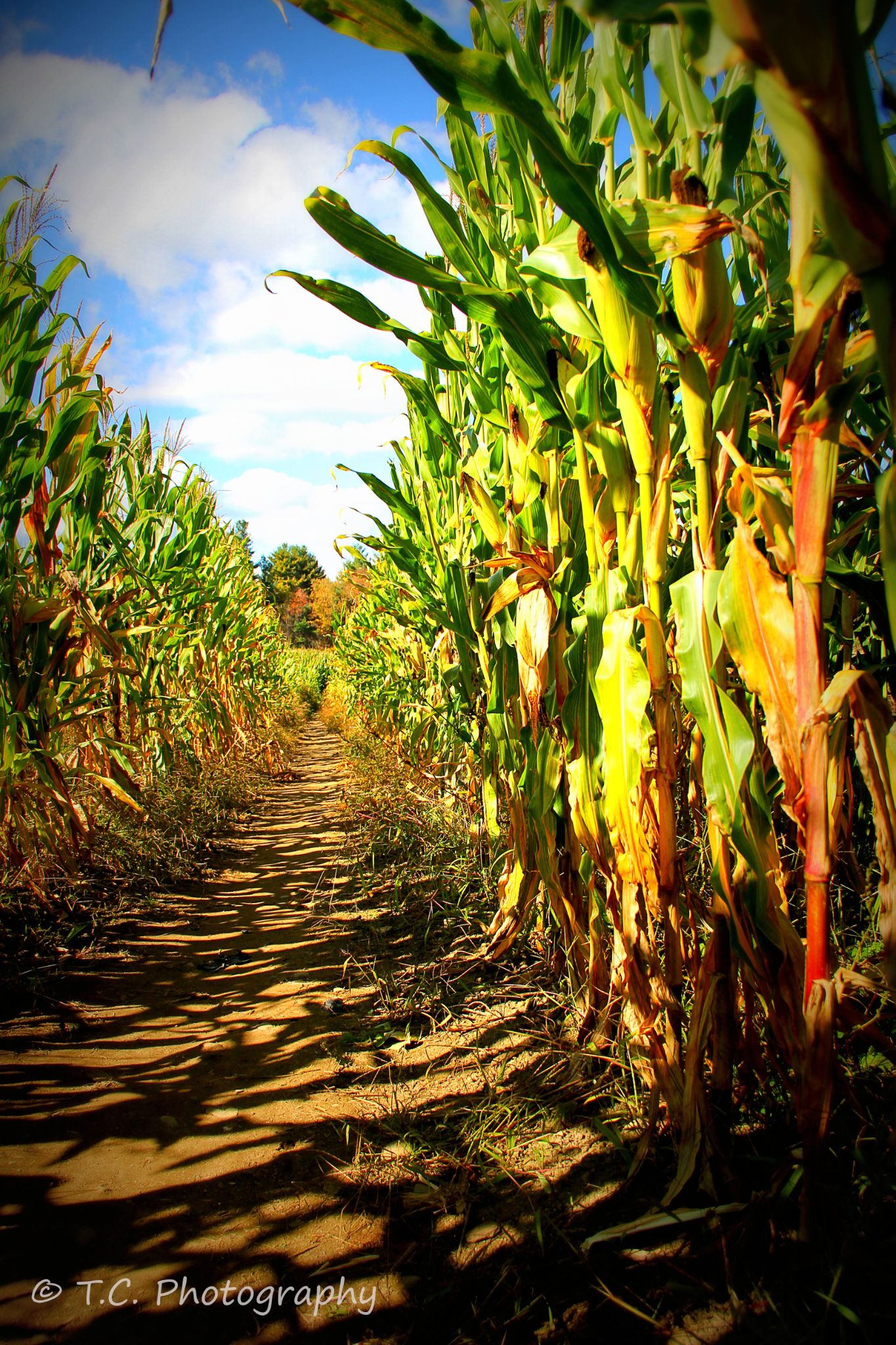 Corn Maze  by T.C. Photography