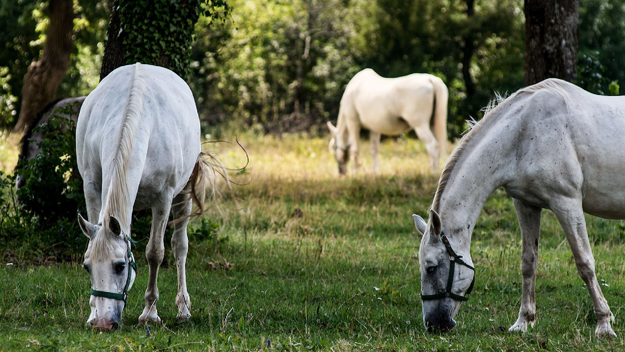 Lipizzaner Horses by Lorenzo Bruno