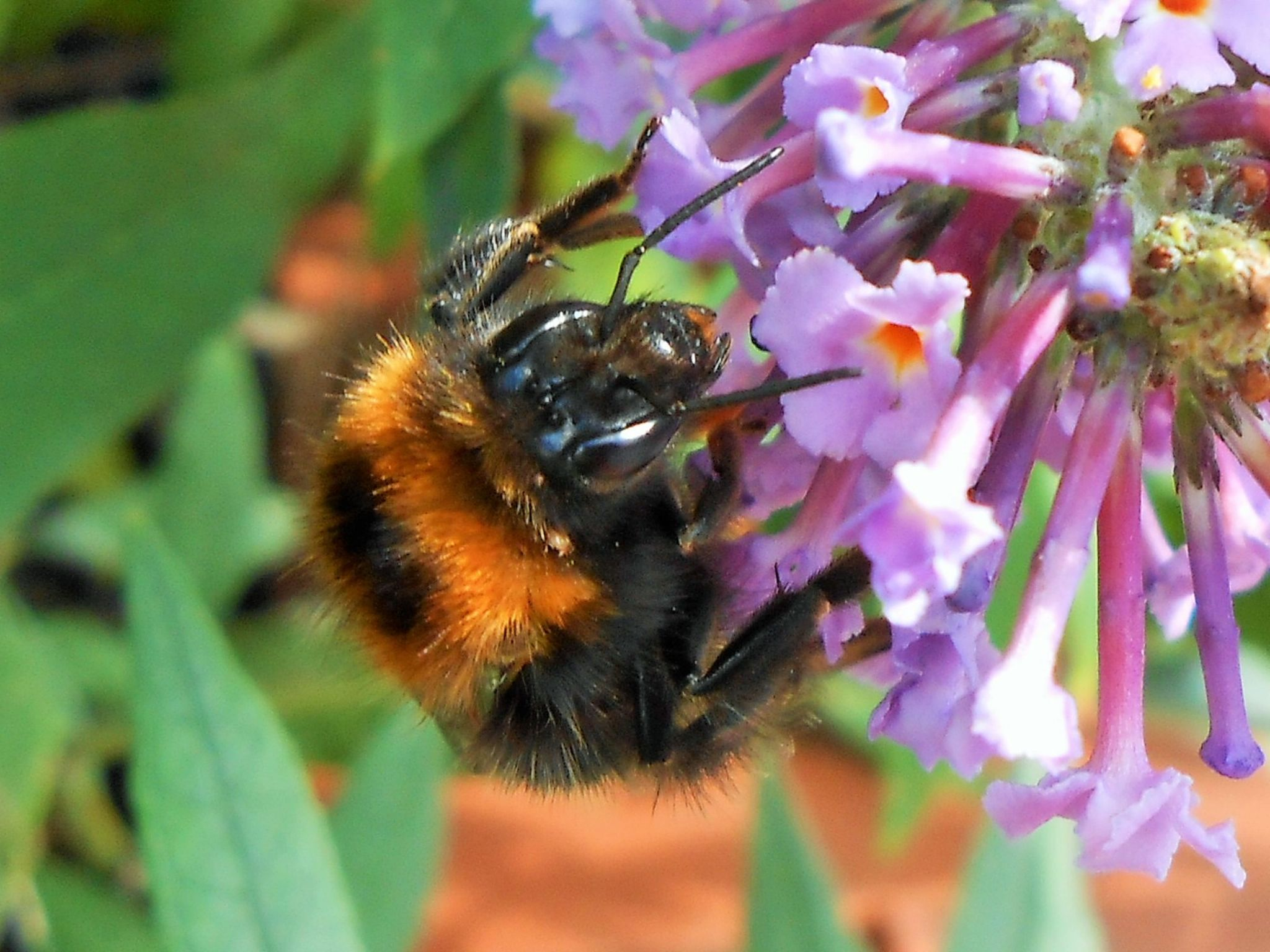 Bee on Butterfly Bush.. by lingangie