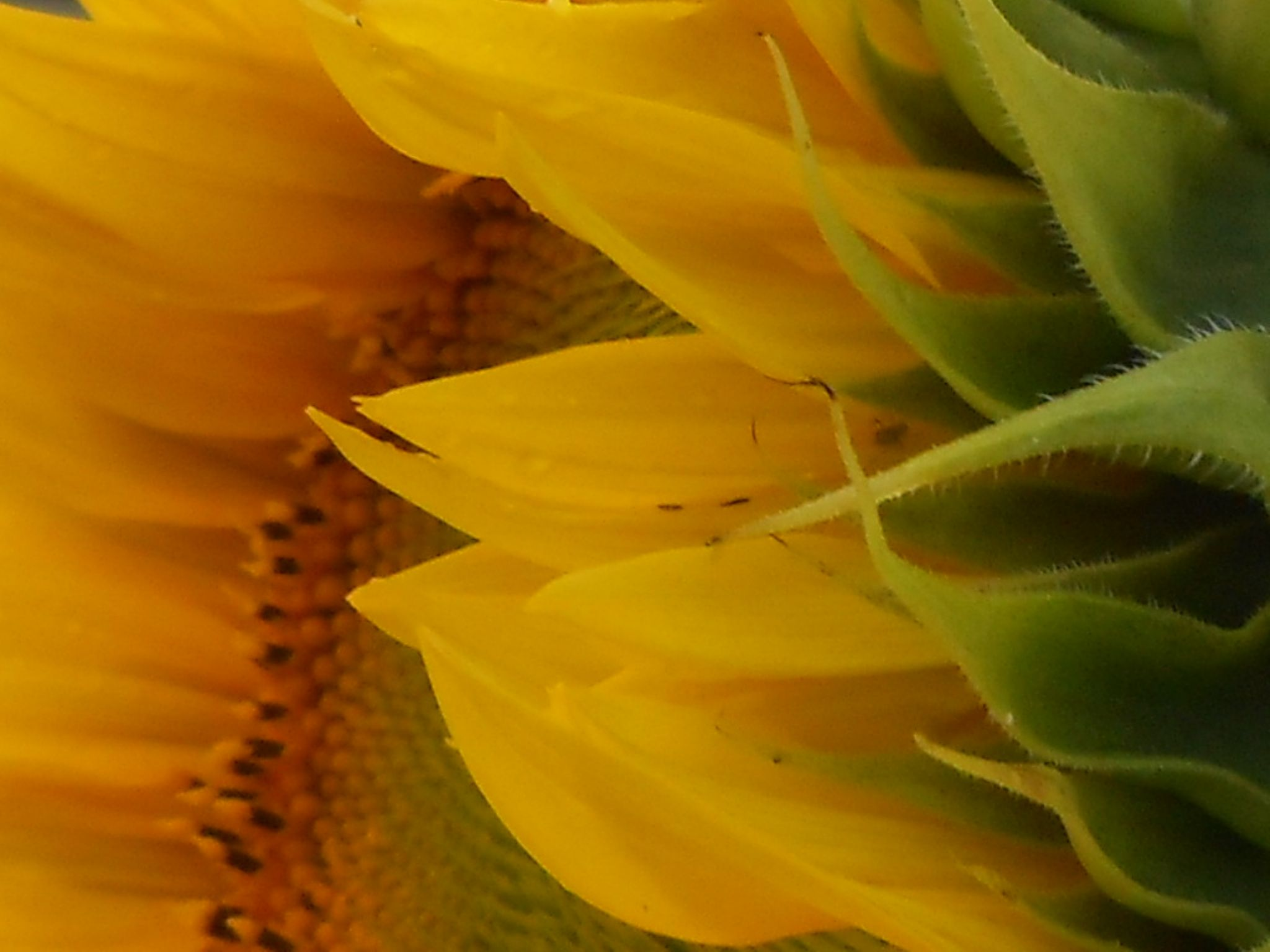 Sunflower.. by lingangie