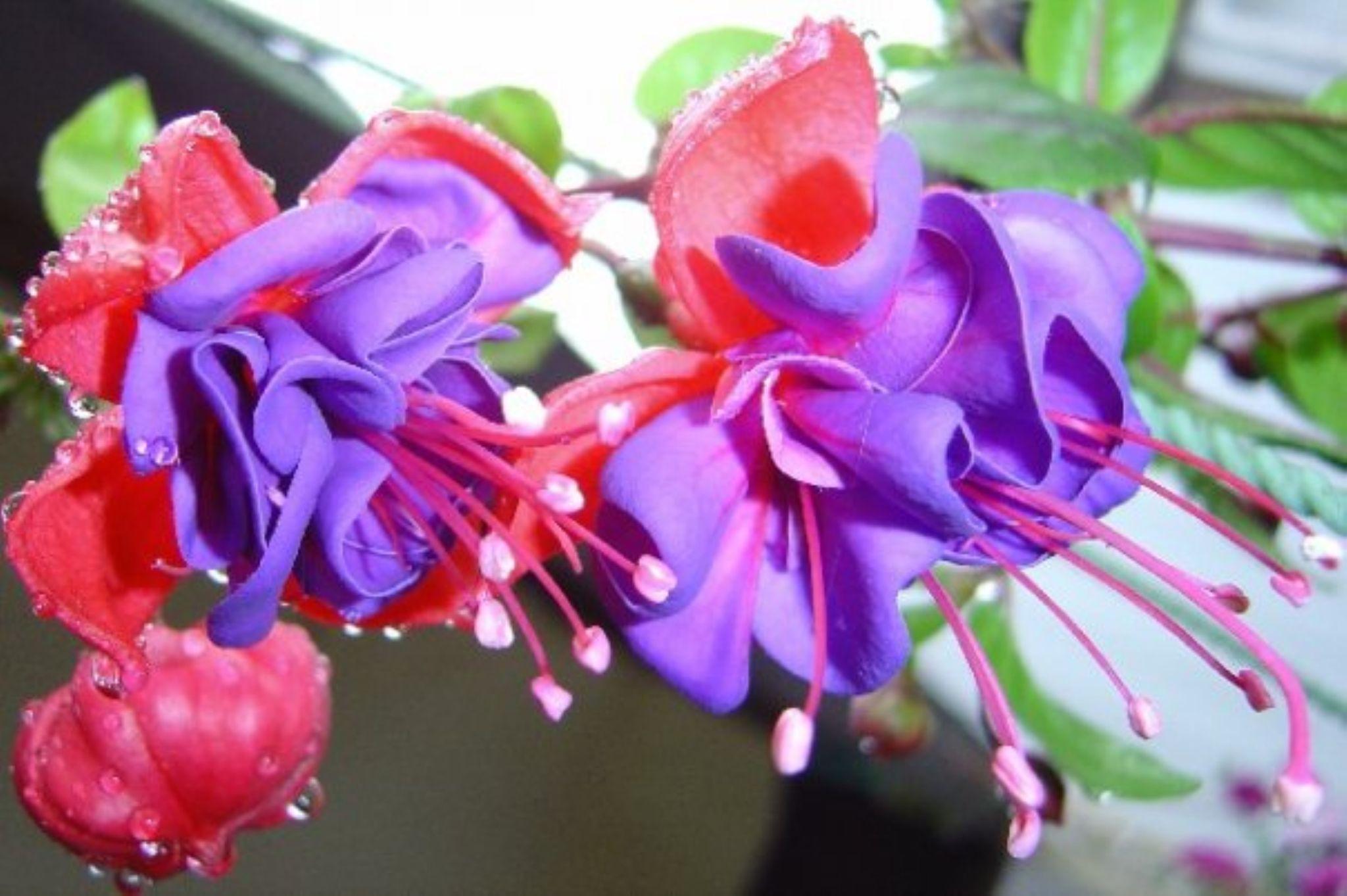 Fuscia Plant by Annette McCann