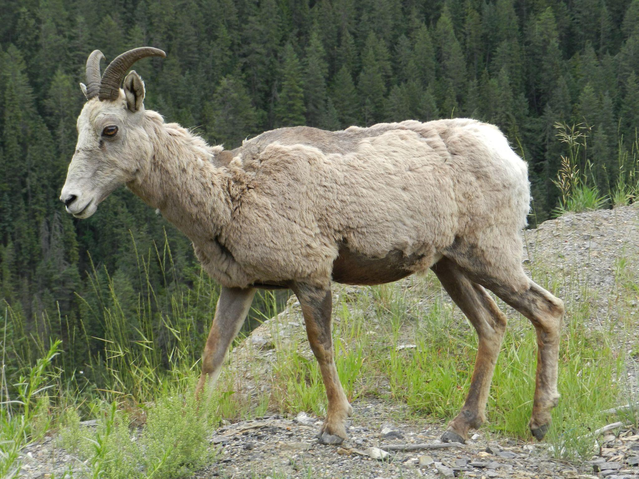 Mountain Goat by Annette McCann