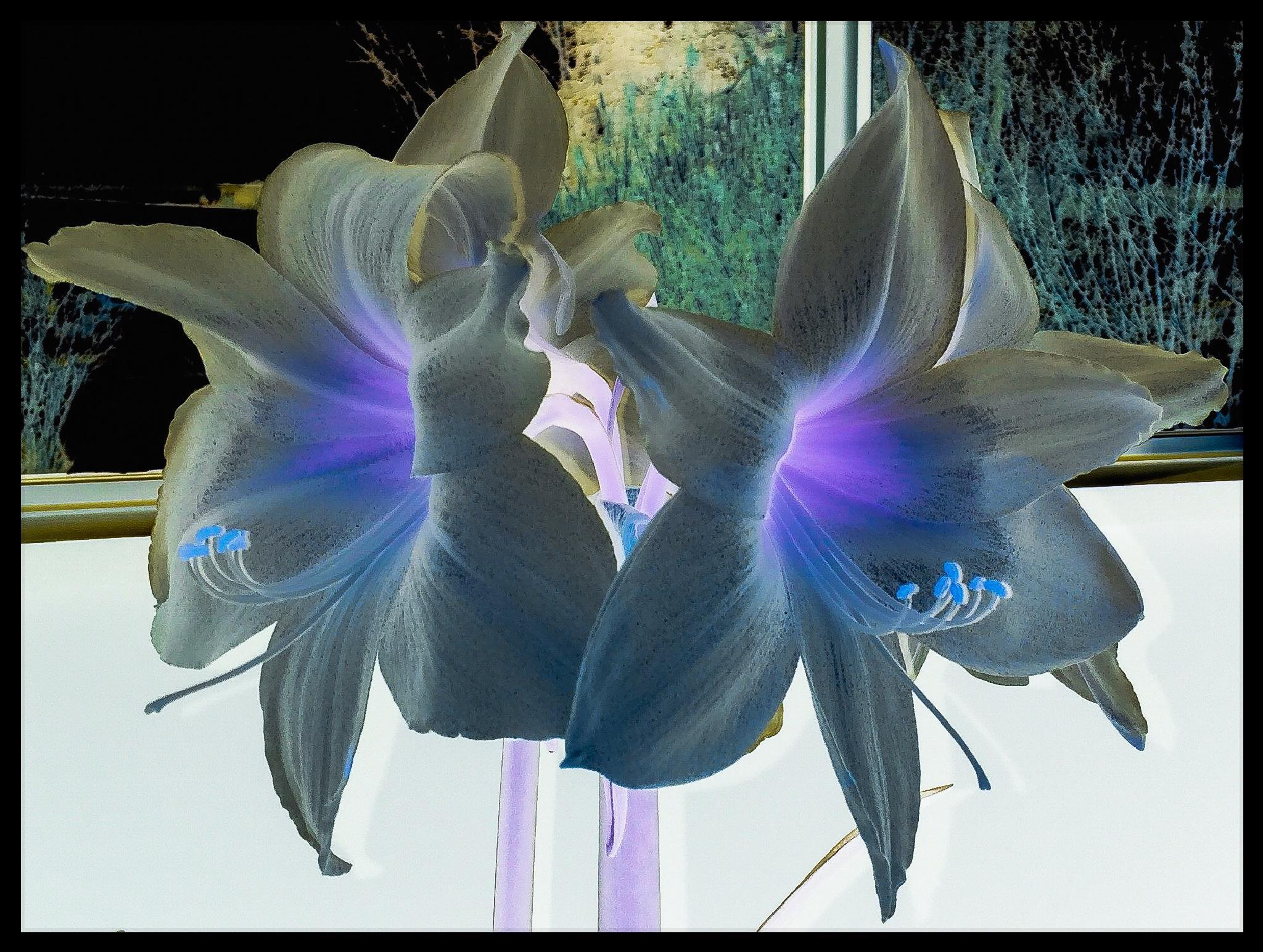 Amaryllis  by Annette McCann