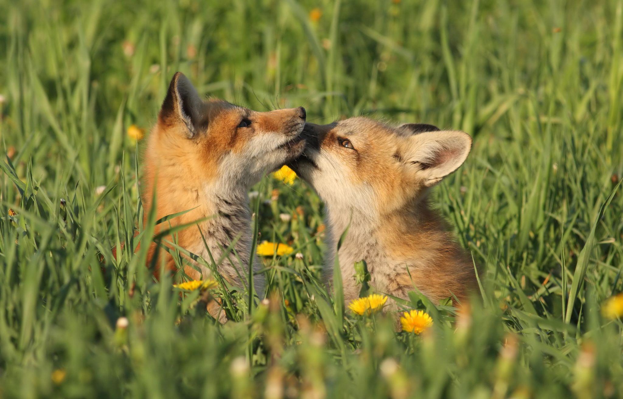 Little Red fox in love!!! by pierre.larouche.790