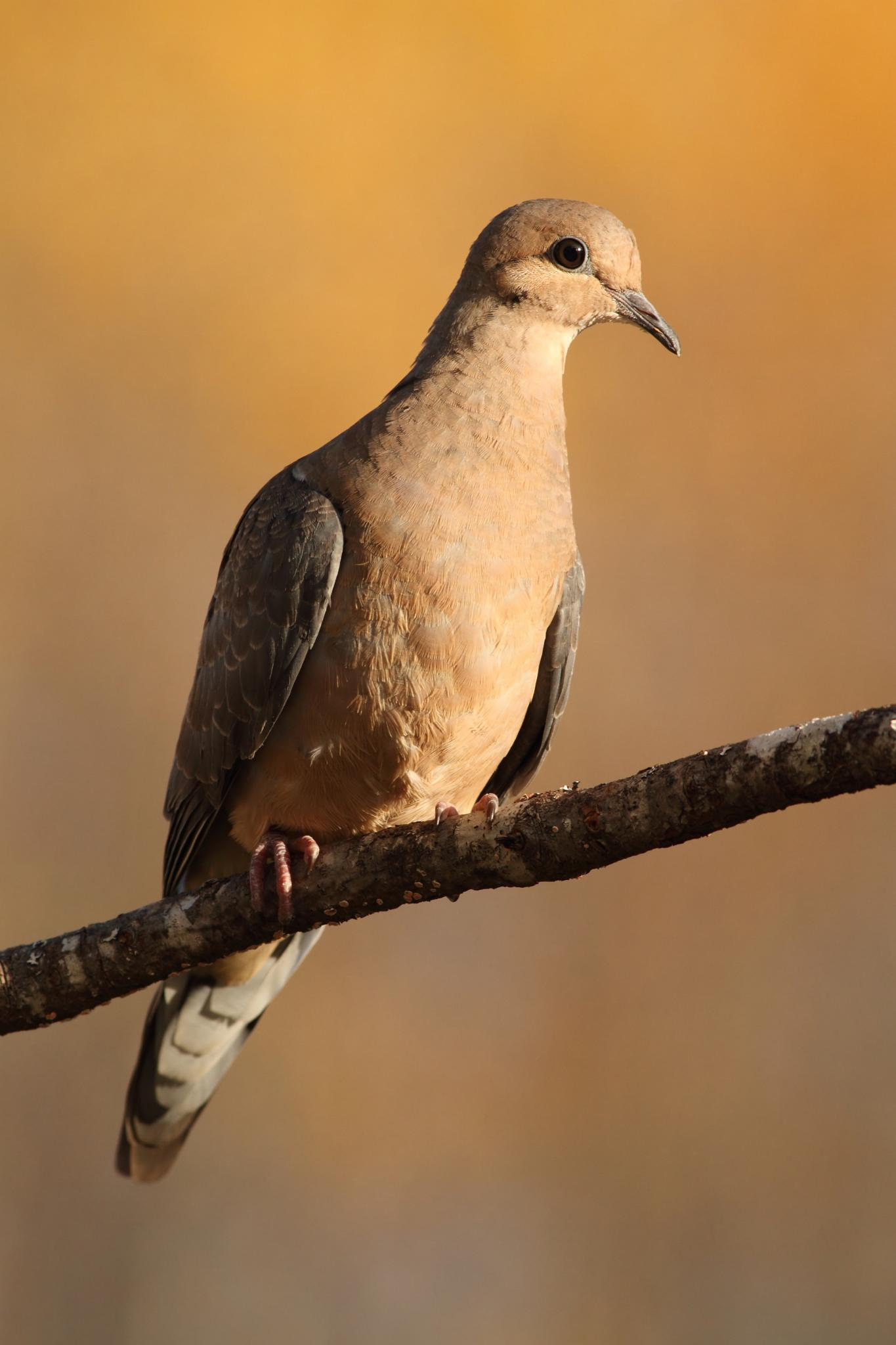 Mourning Dove by pierre.larouche.790