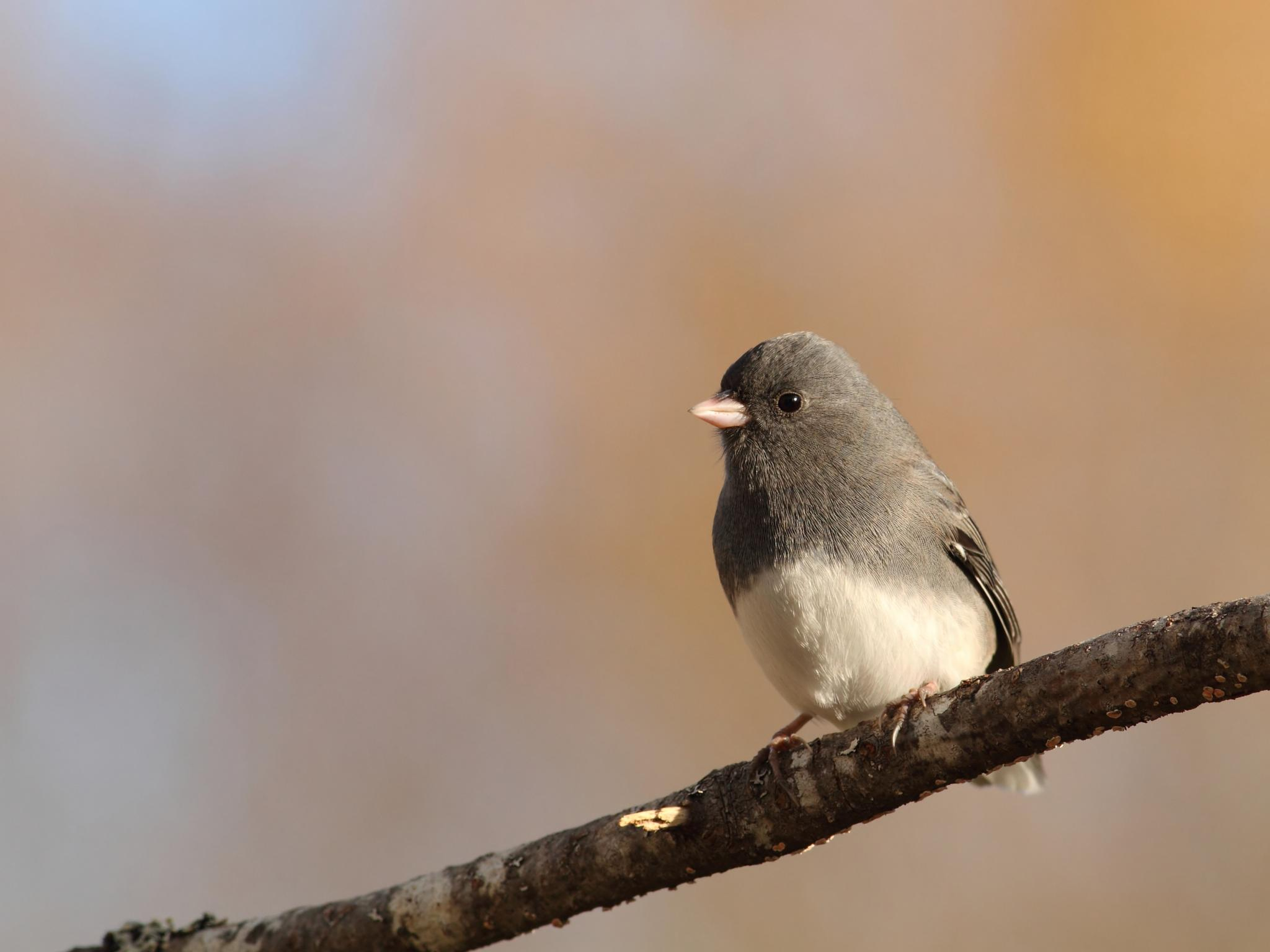 Dark-eyed Junco by pierre.larouche.790