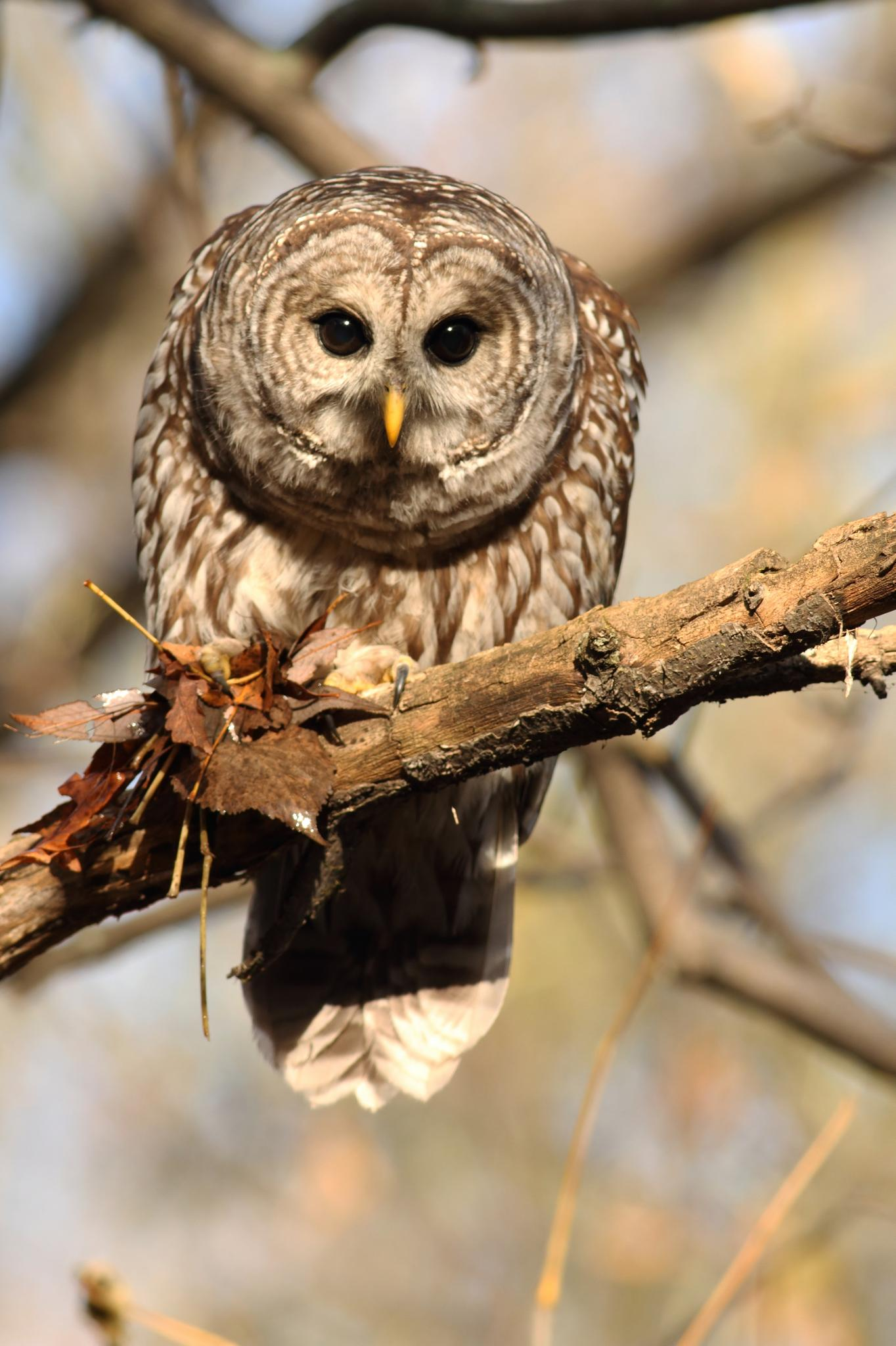 Barred Owl by pierre.larouche.790