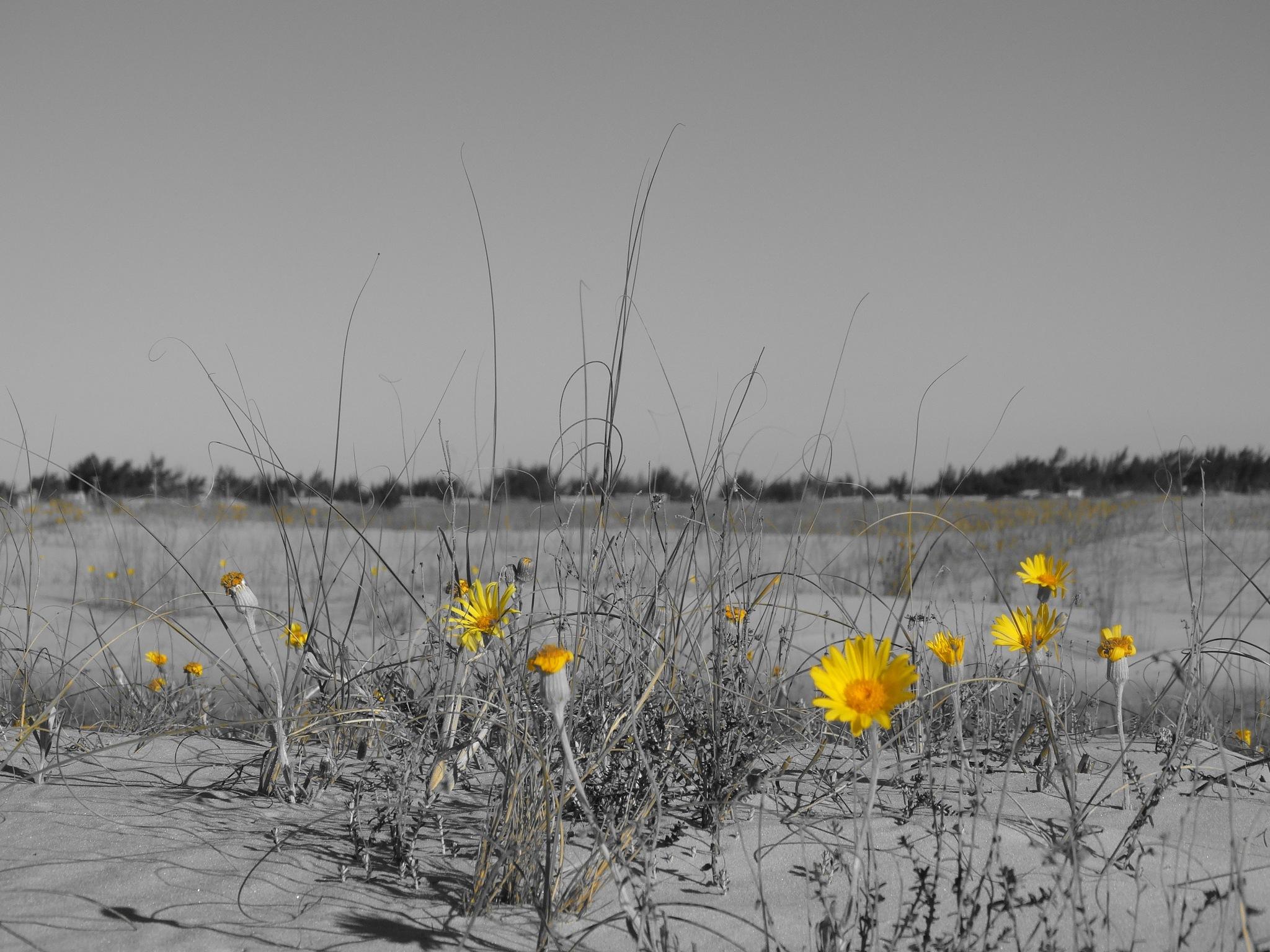 dunas cobertas de amarelo by Maciel Panisson