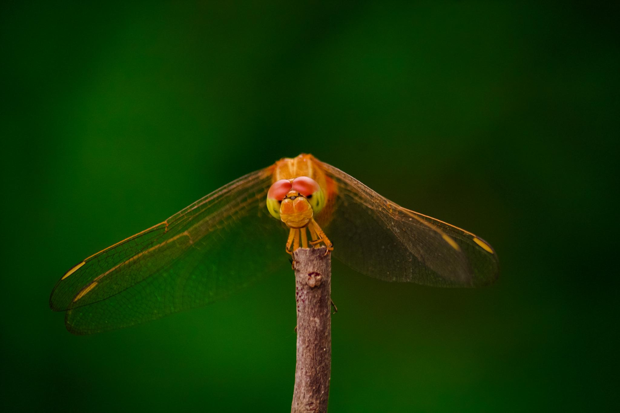dragonfly by skamin