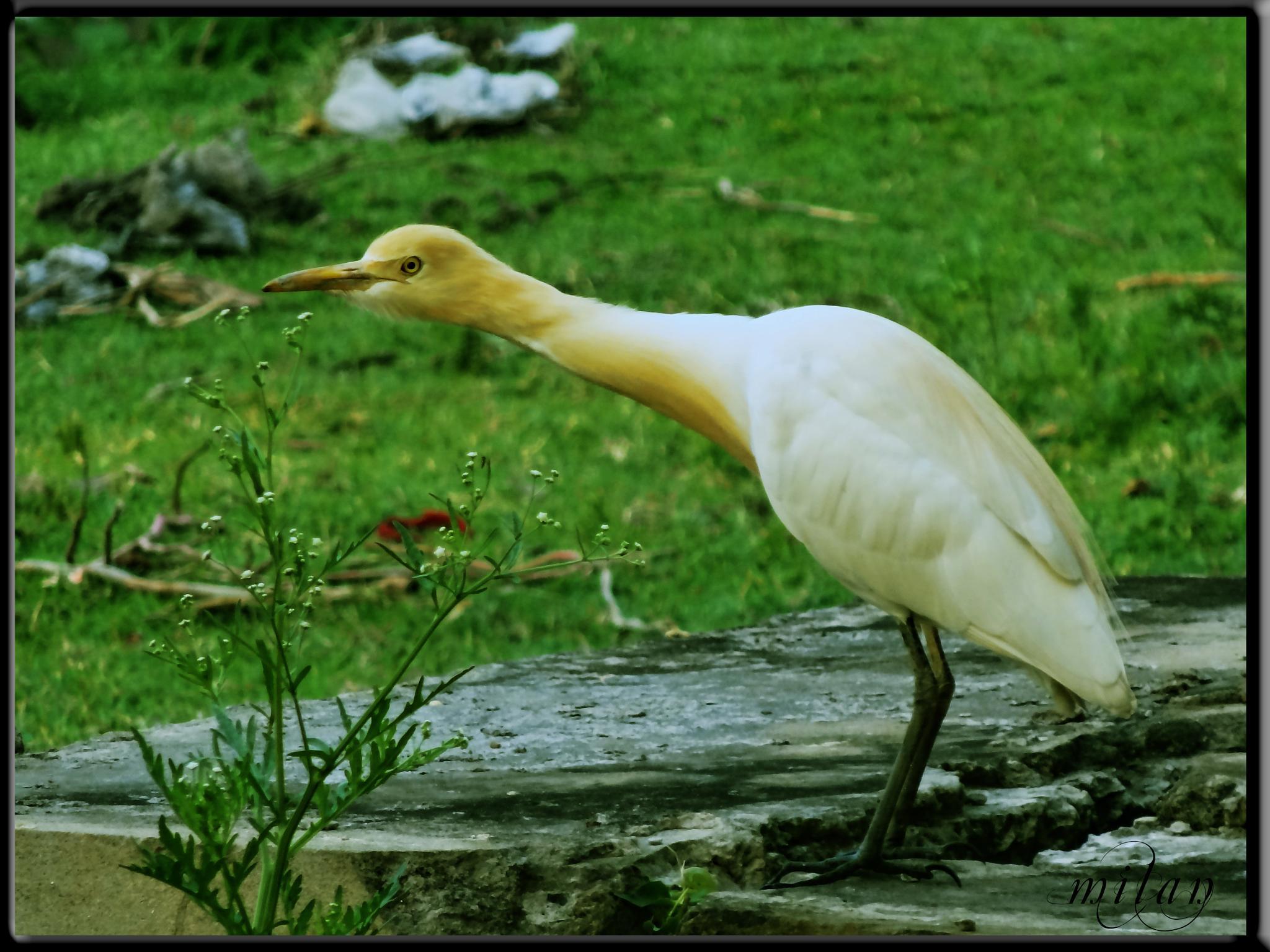 Indian Stork by milan kr das