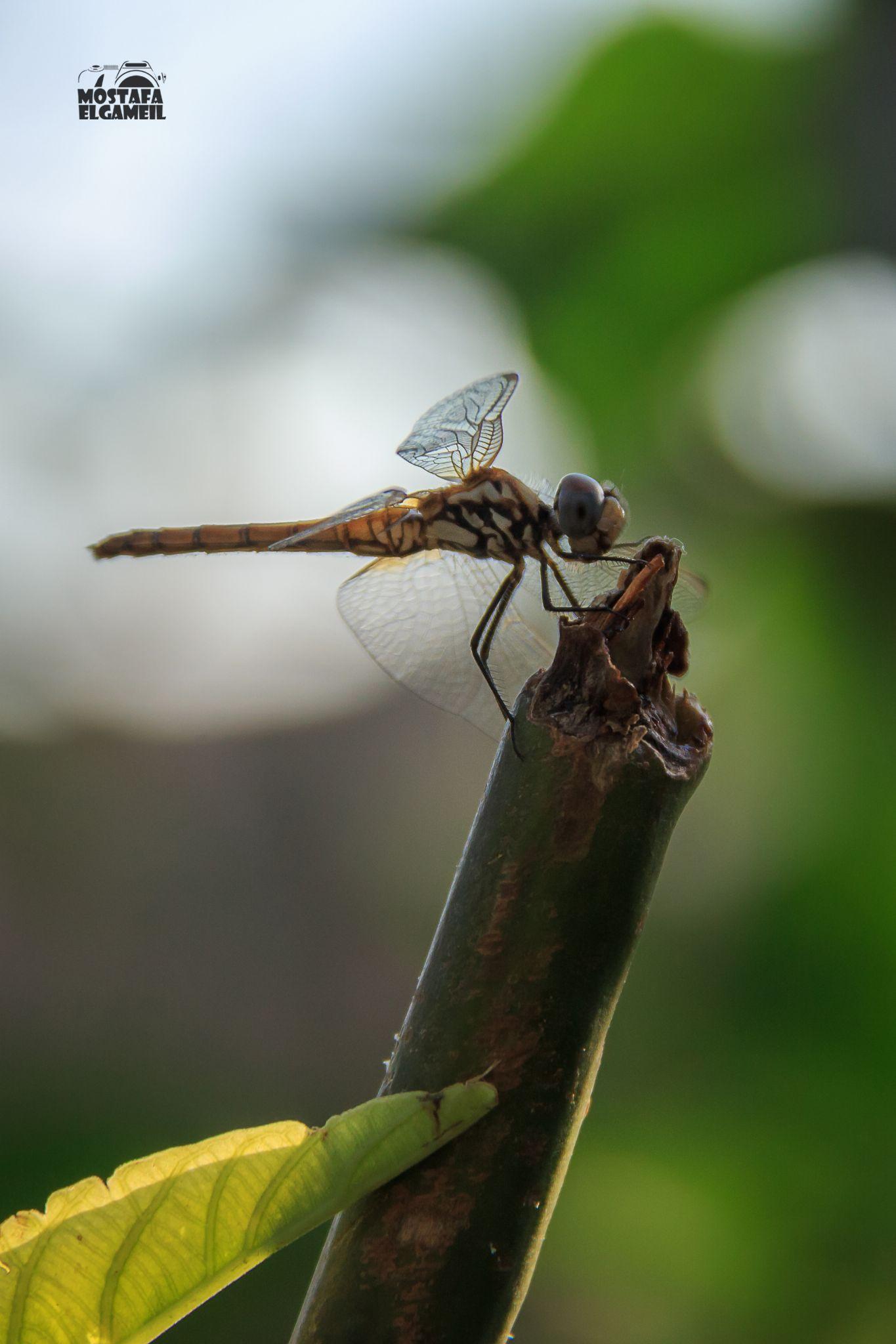 Dragonfly by Mostafa ElGameil