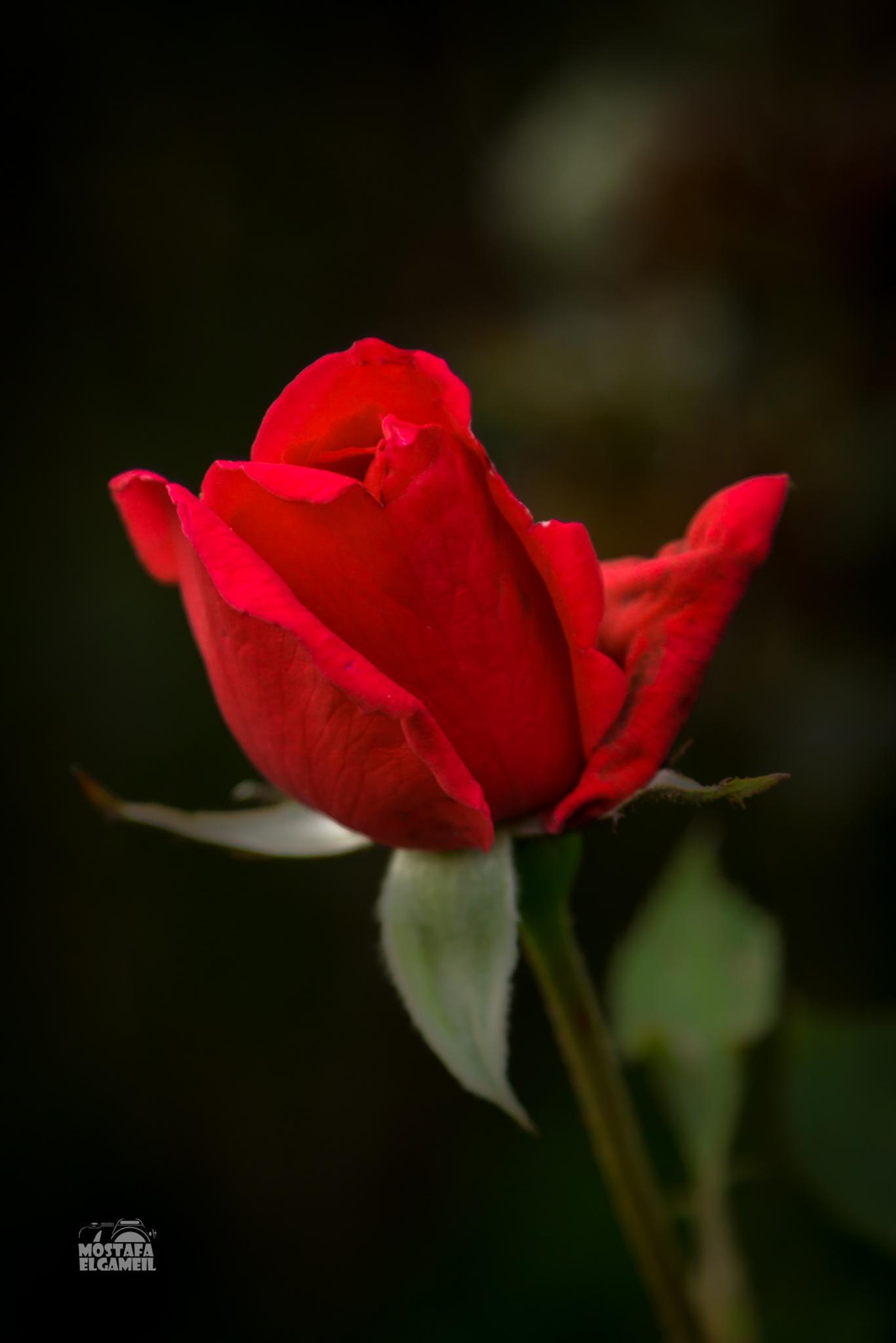 red romance by Mostafa ElGameil