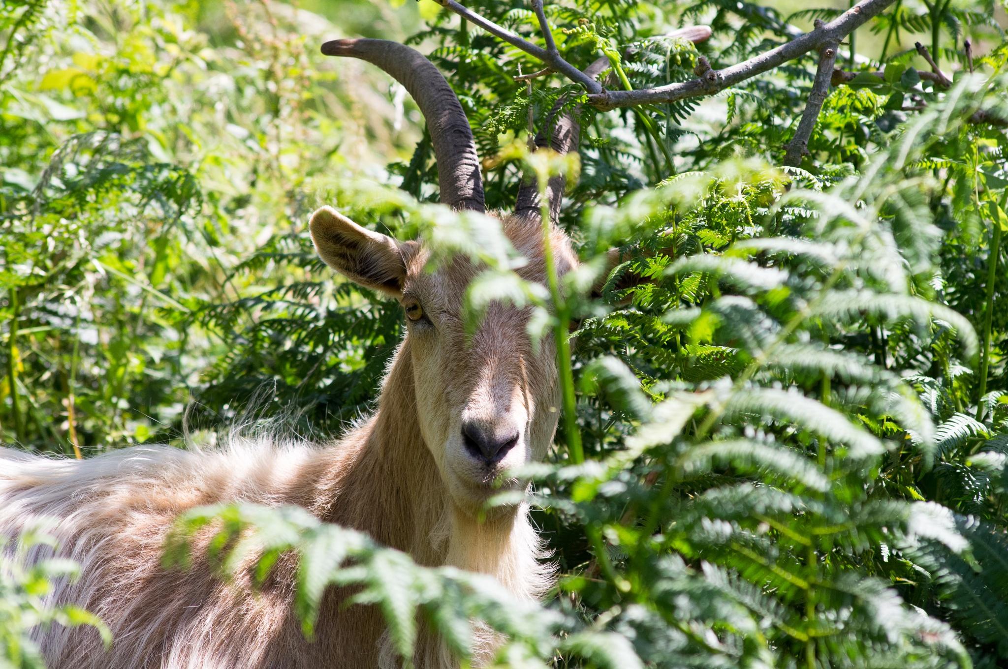 goat  by tom salt