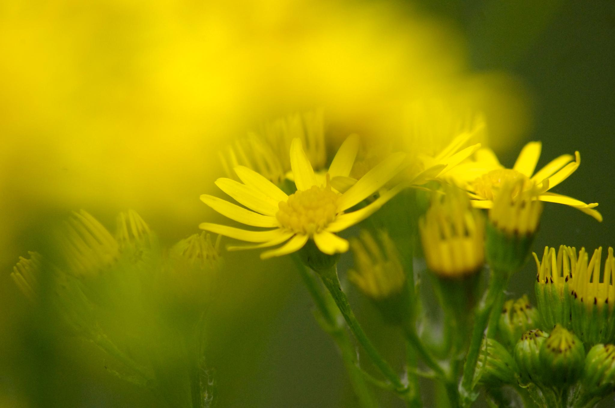 wild flower  by tom salt