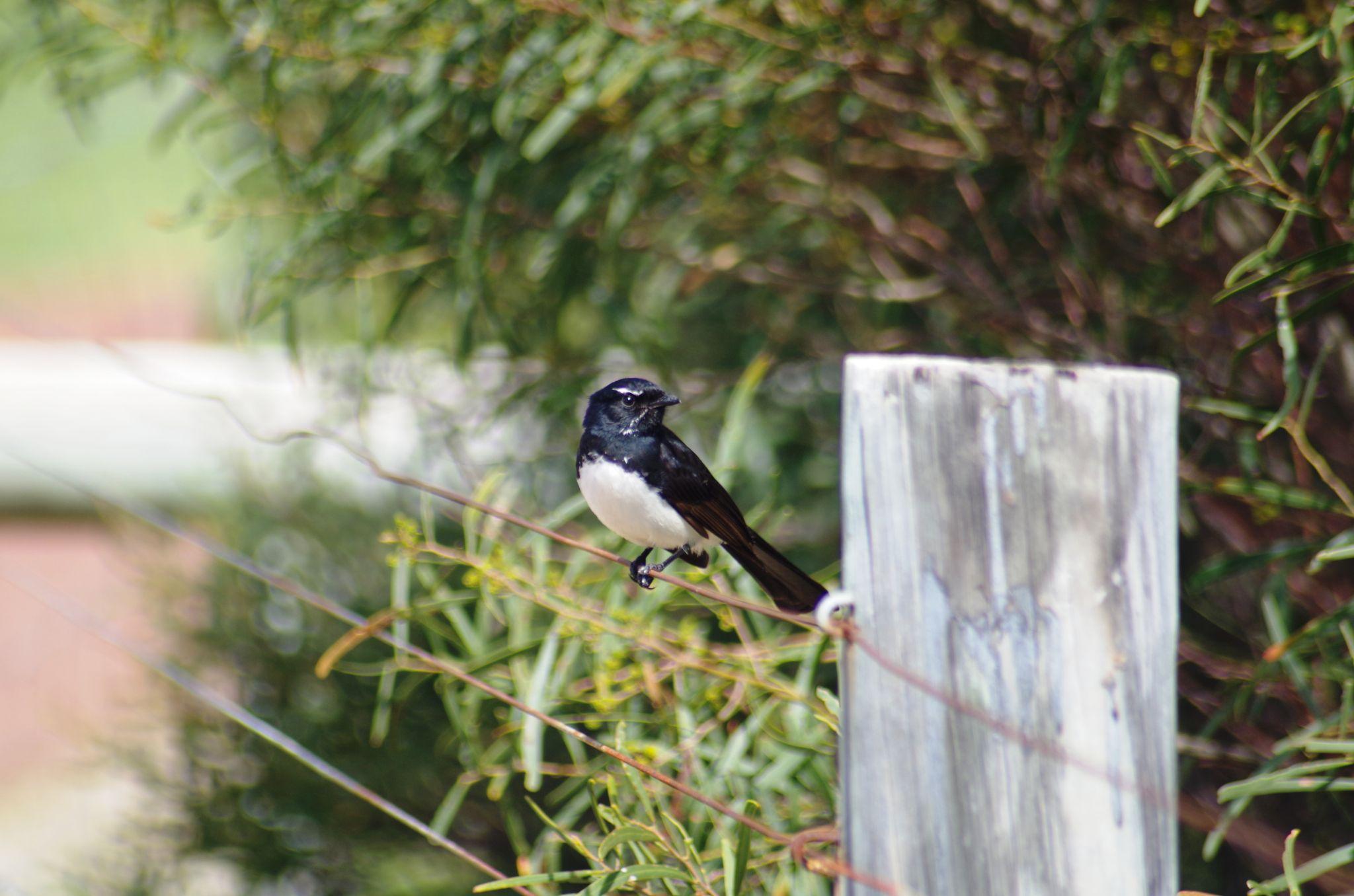 Bird on a wire by cinzia.sawatzky