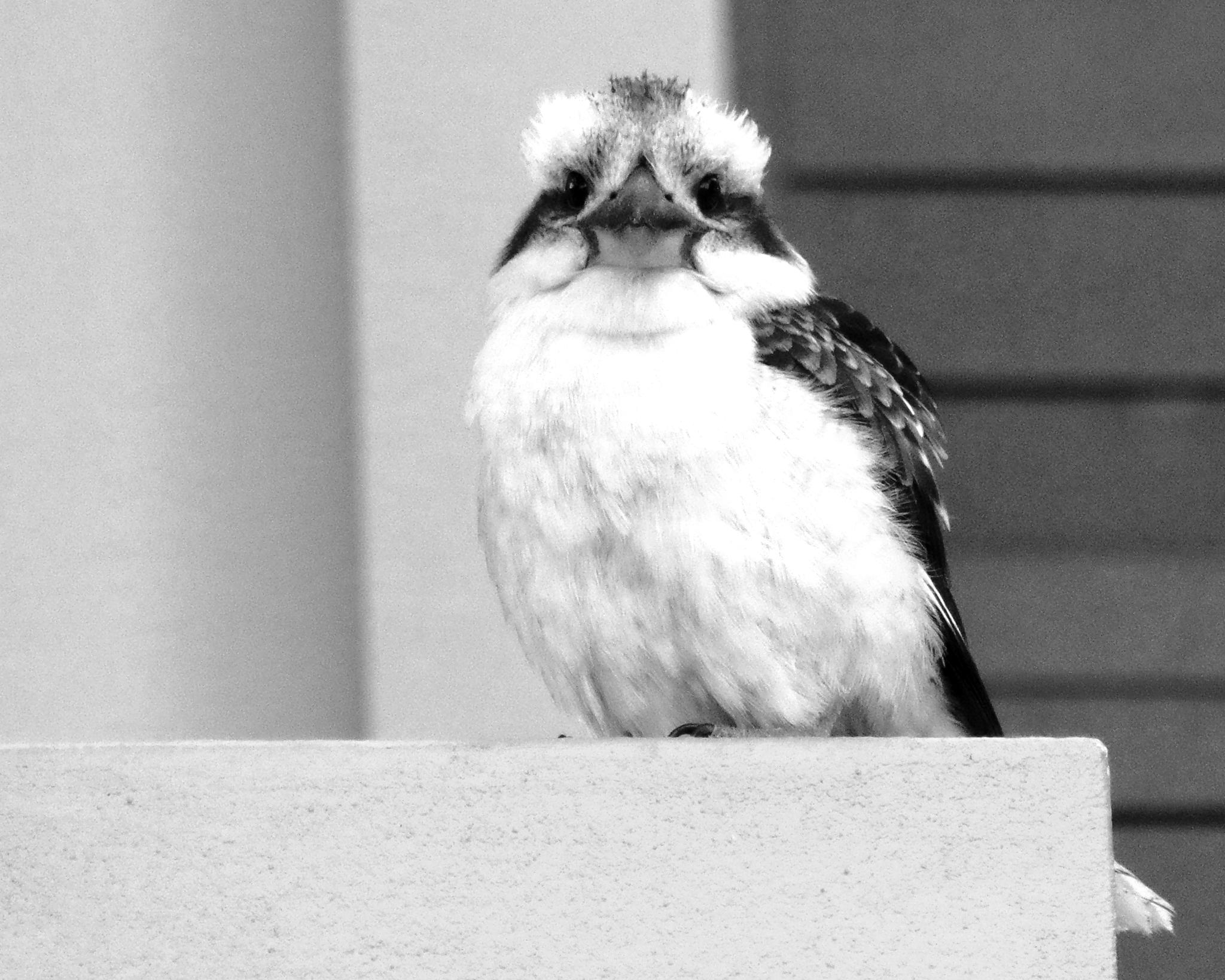 Kookaburra sees me by cinzia.sawatzky