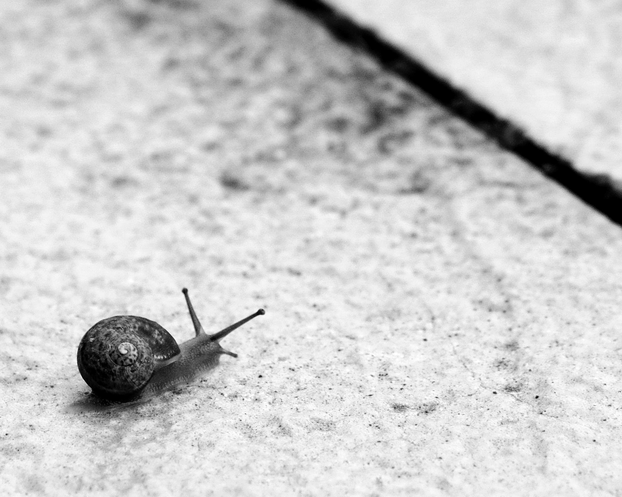 garden snail bw 2 by cinzia.sawatzky