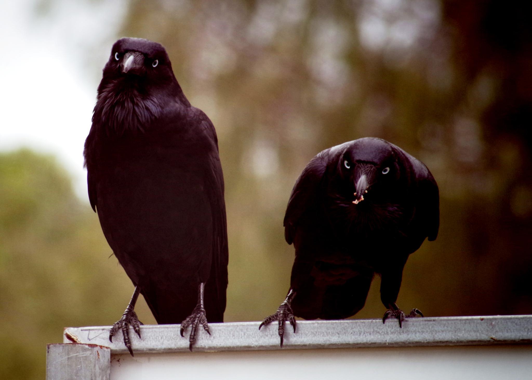 two crows watching me...... by cinzia.sawatzky
