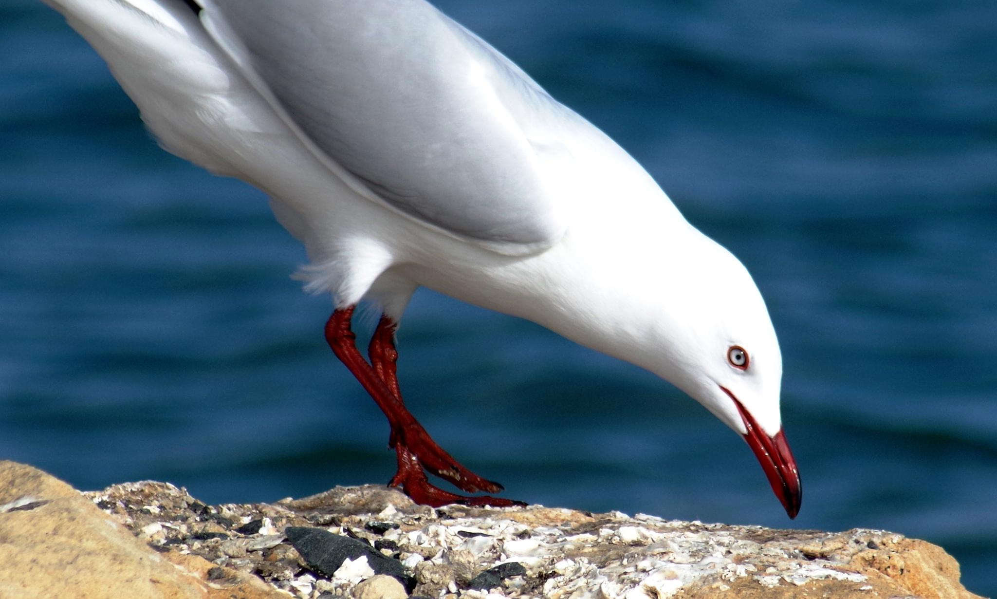 the clear colour of the seagull's eye.... by cinzia.sawatzky