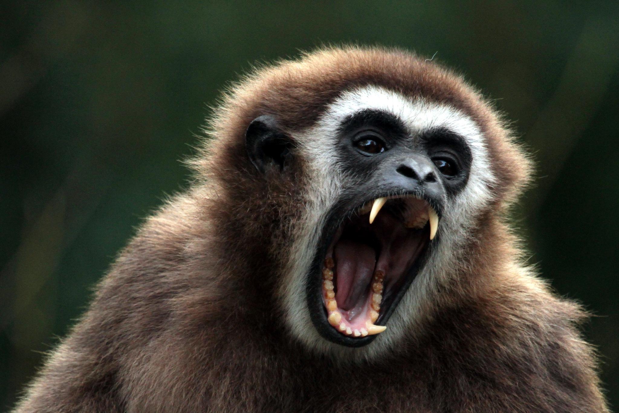 Monkey by henkschneider