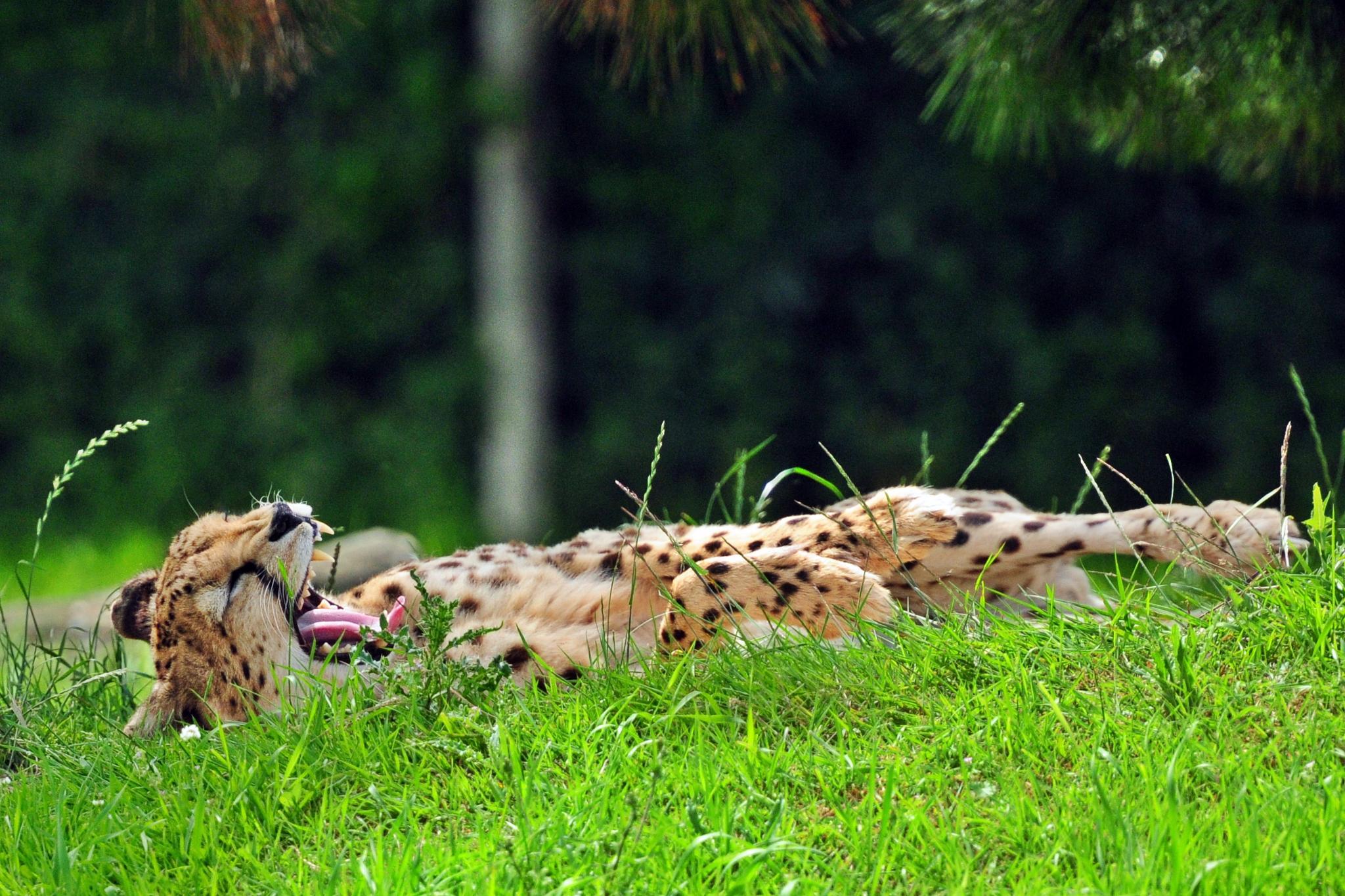 Cheeta by henkschneider
