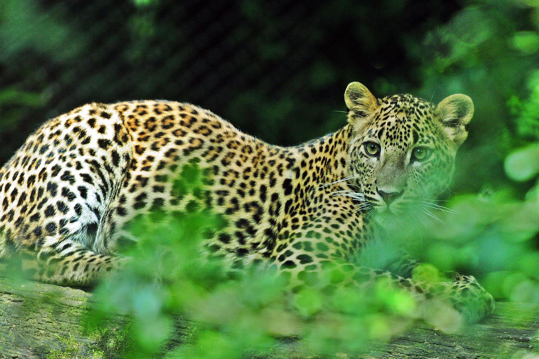 jaguar by henkschneider