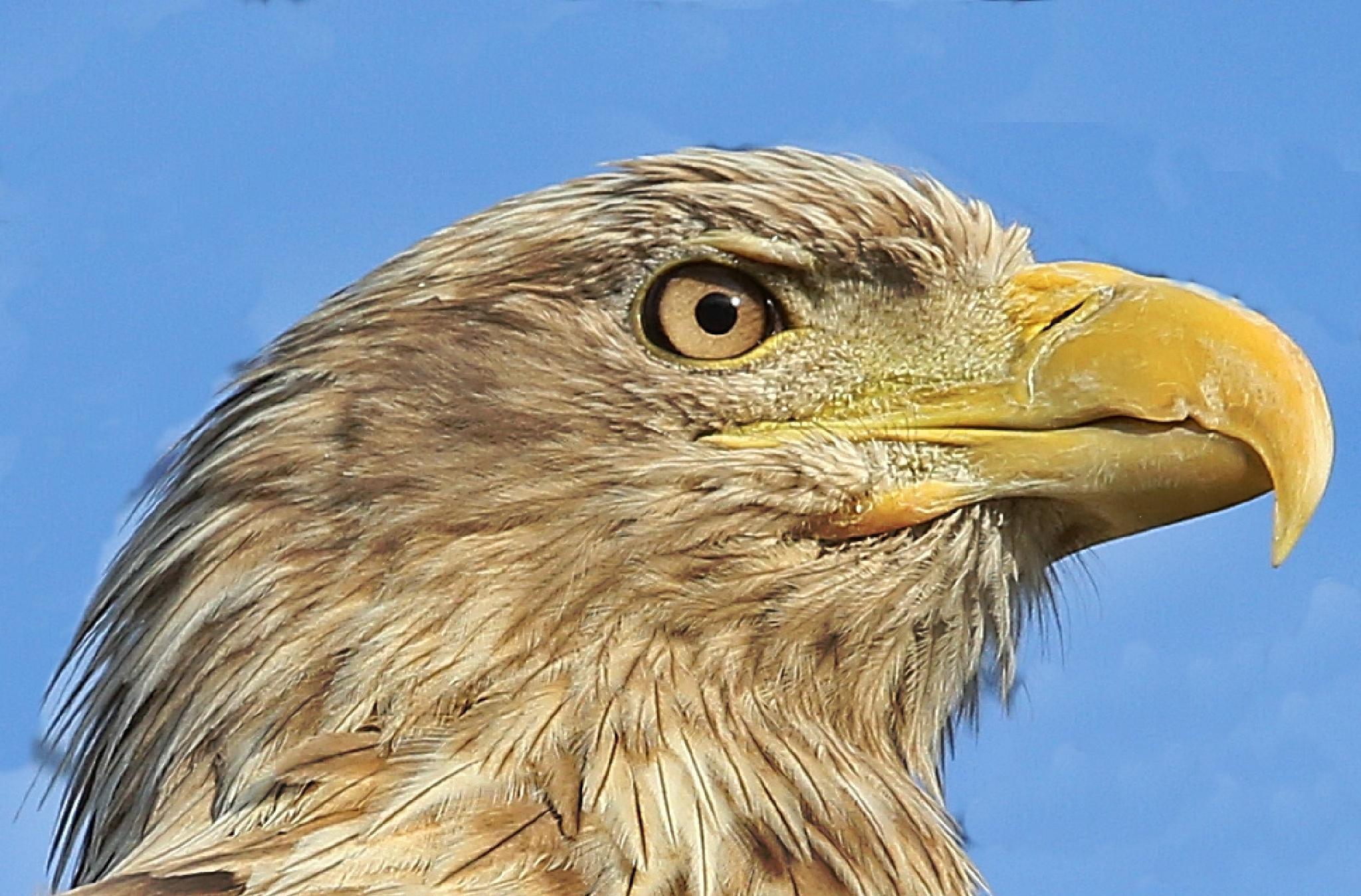 Eagle by henkschneider