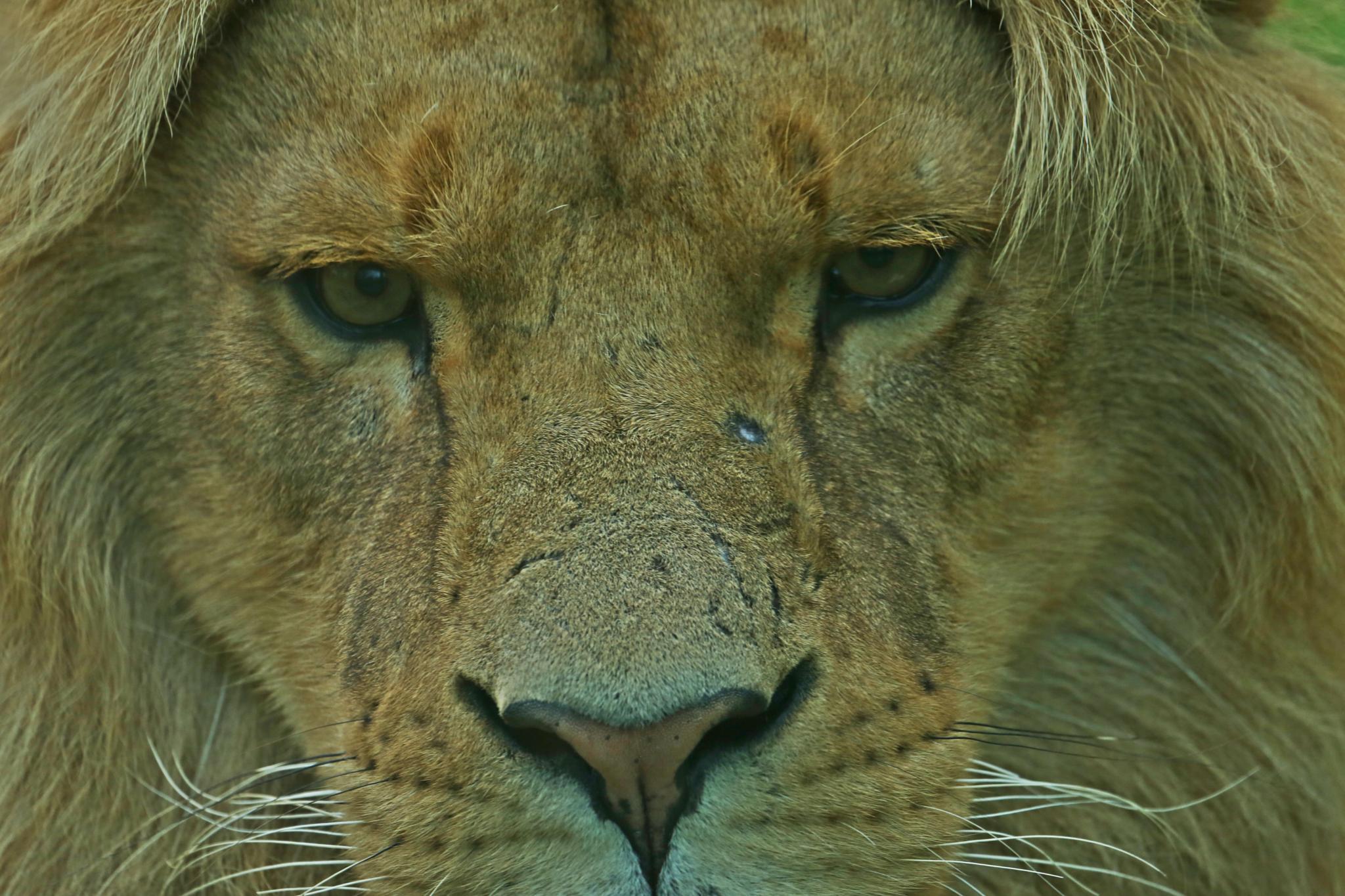 Lion in close up by henkschneider