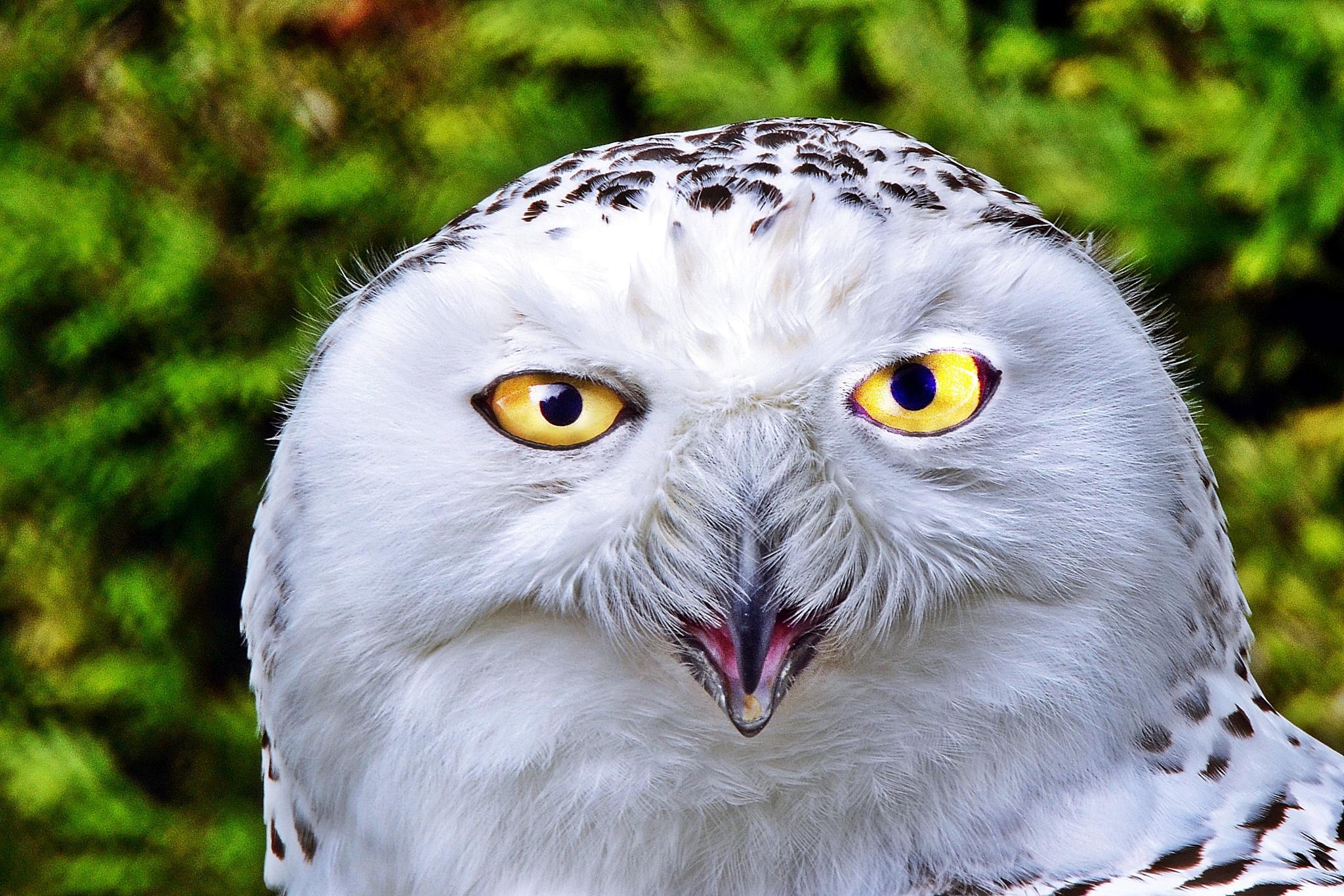 Snow Owl by henkschneider