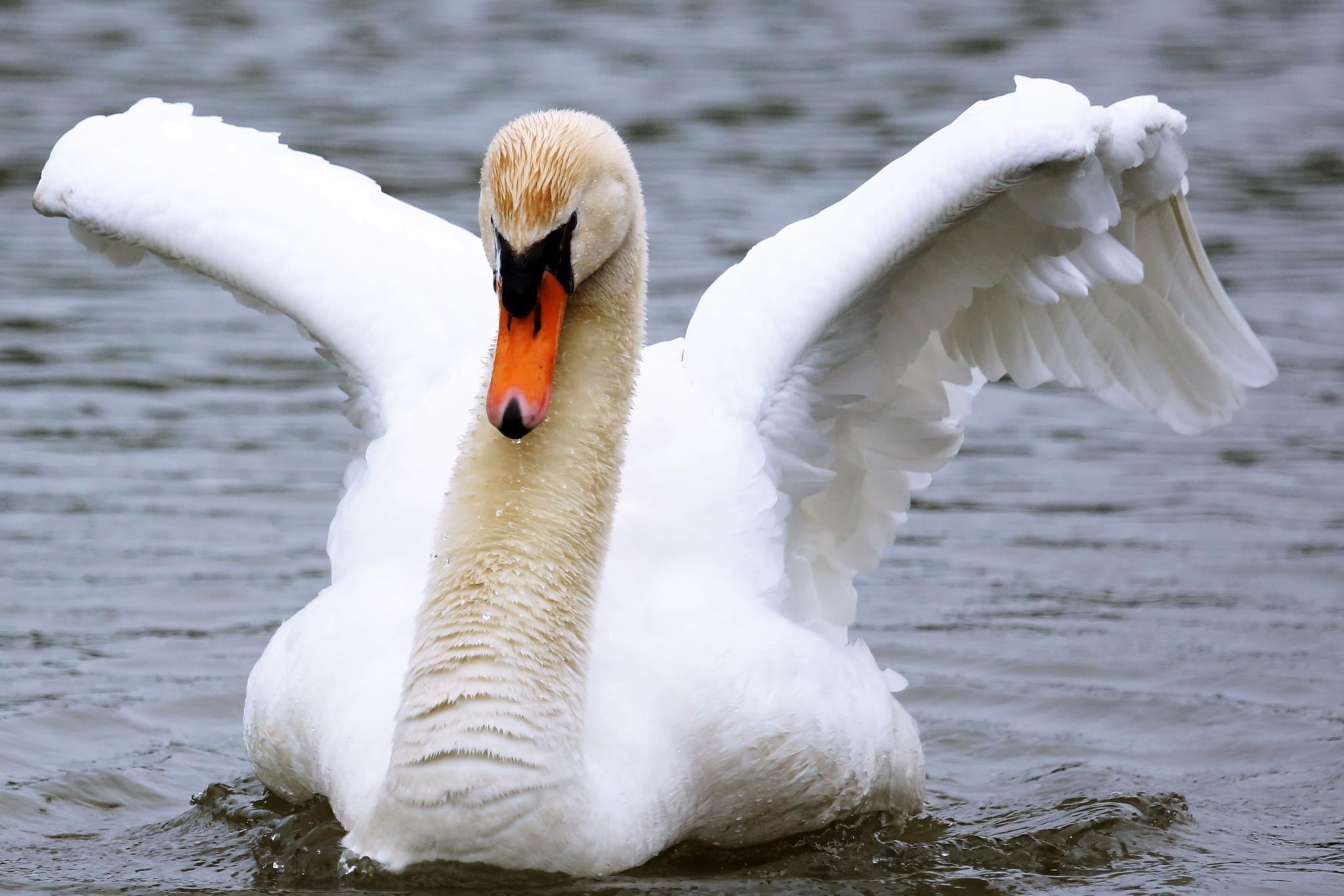 Swan by henkschneider