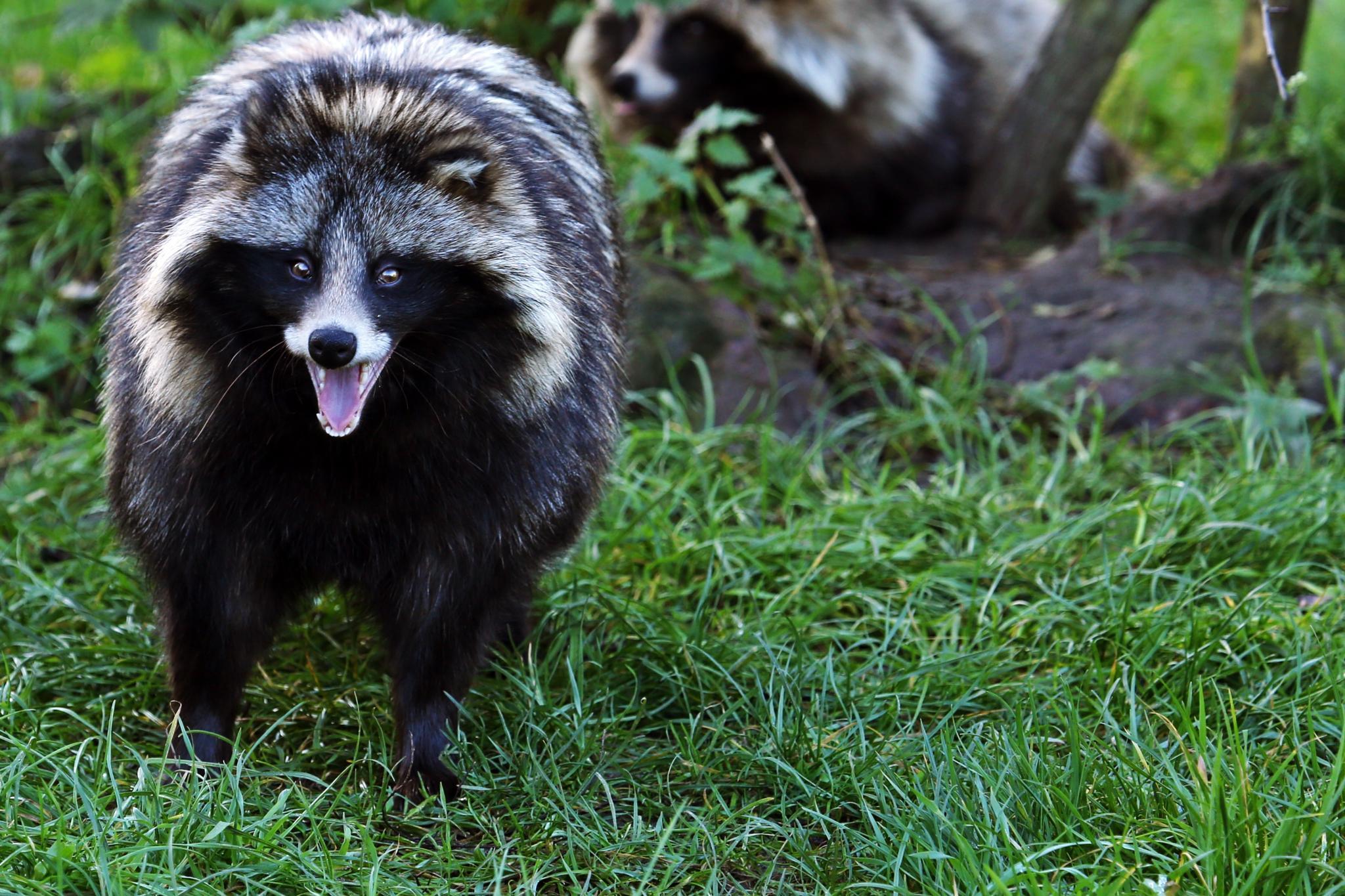 Raccoon by henkschneider