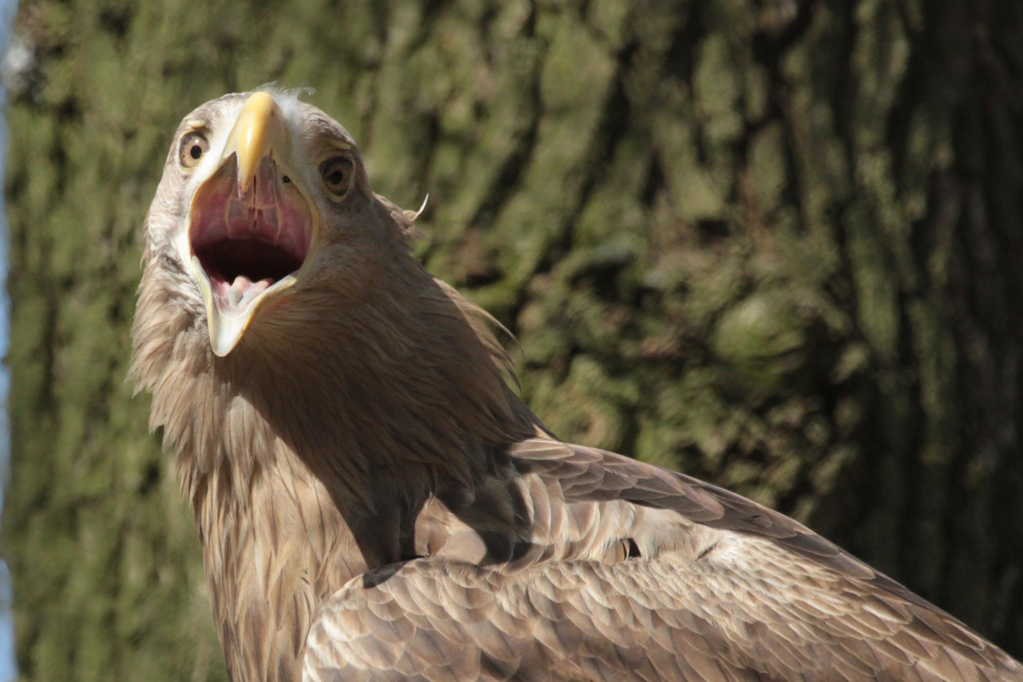 Sea eagle by henkschneider
