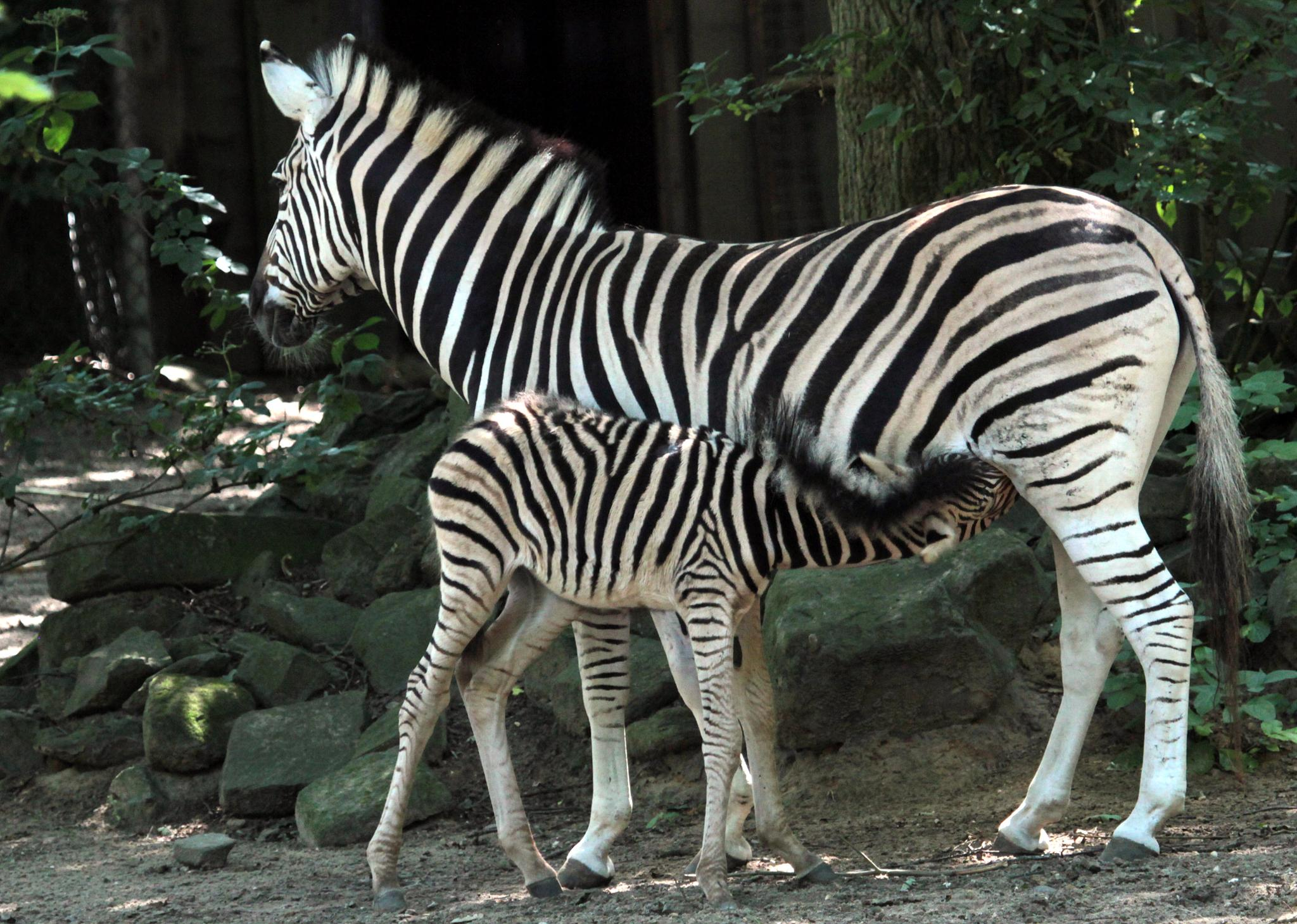 Zebra with her young by henkschneider