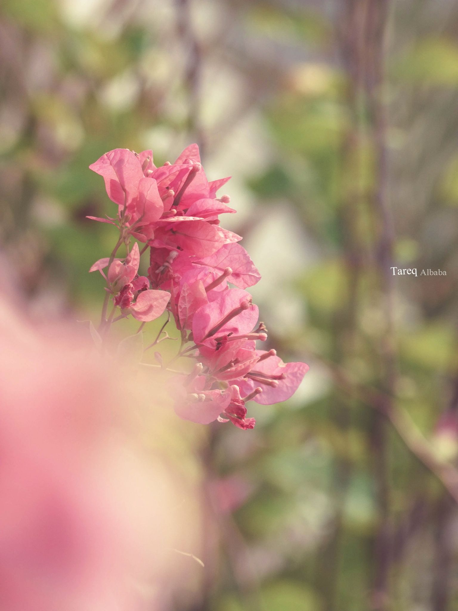 pink it  by Tareq Albaba