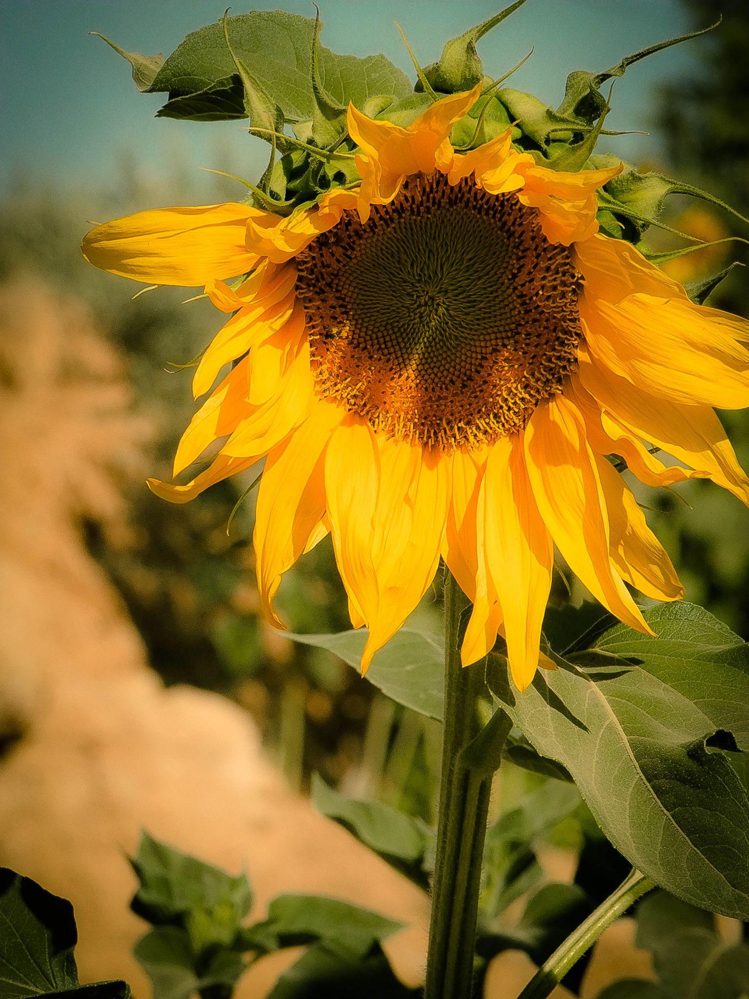Sunflower by Tareq Albaba