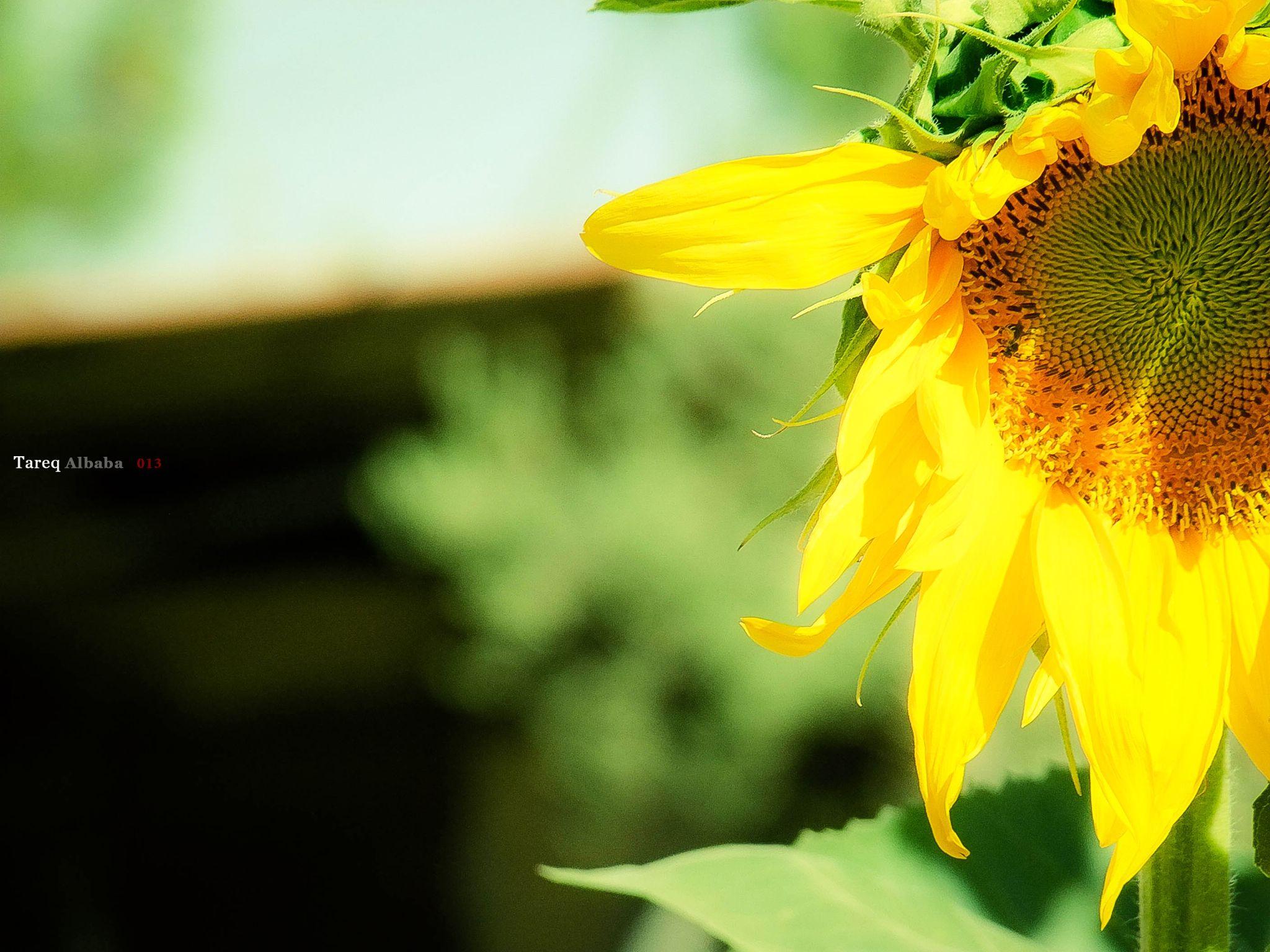 Sunflower <3 by Tareq Albaba