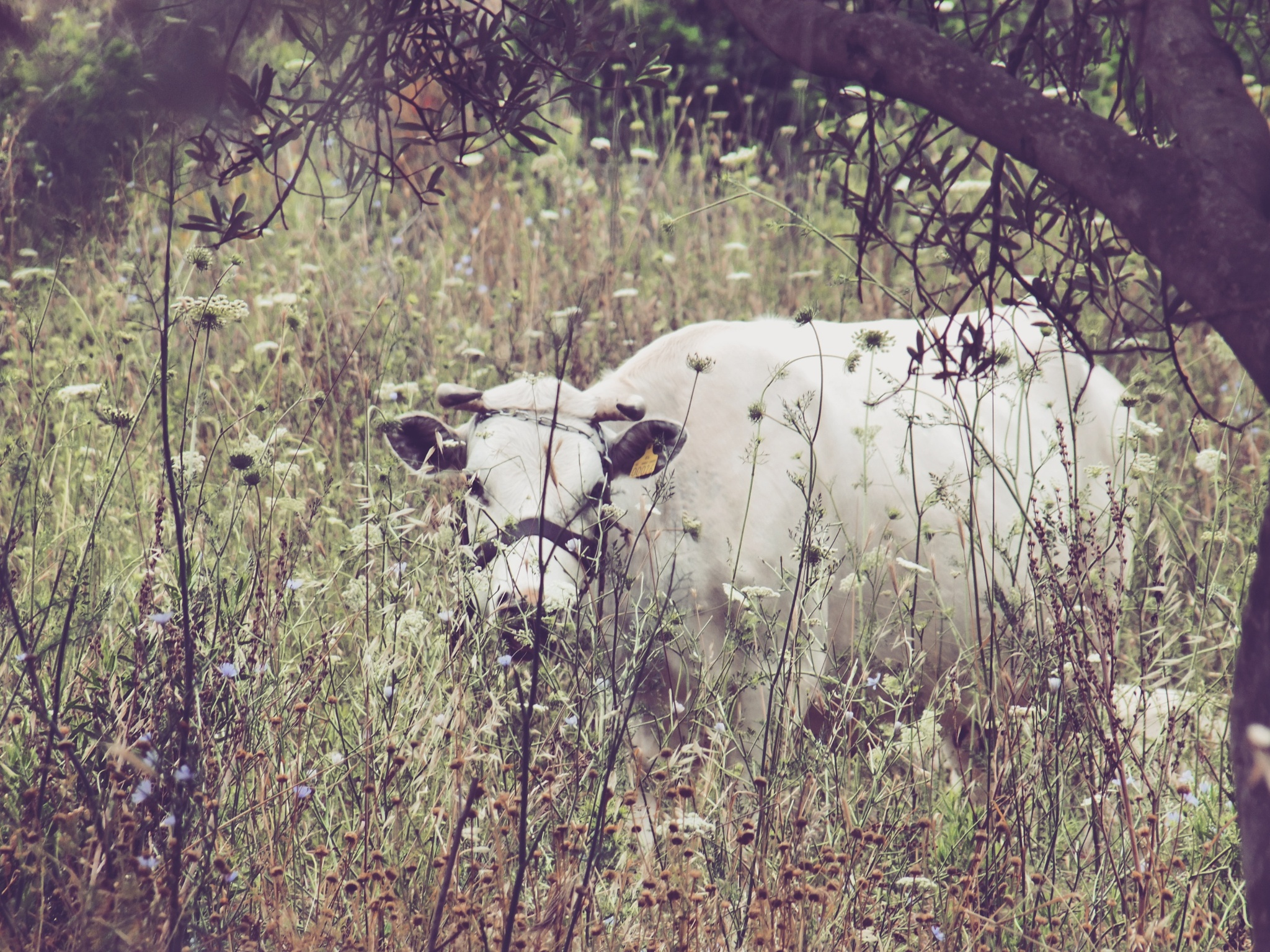 the sacred cow by Tareq Albaba