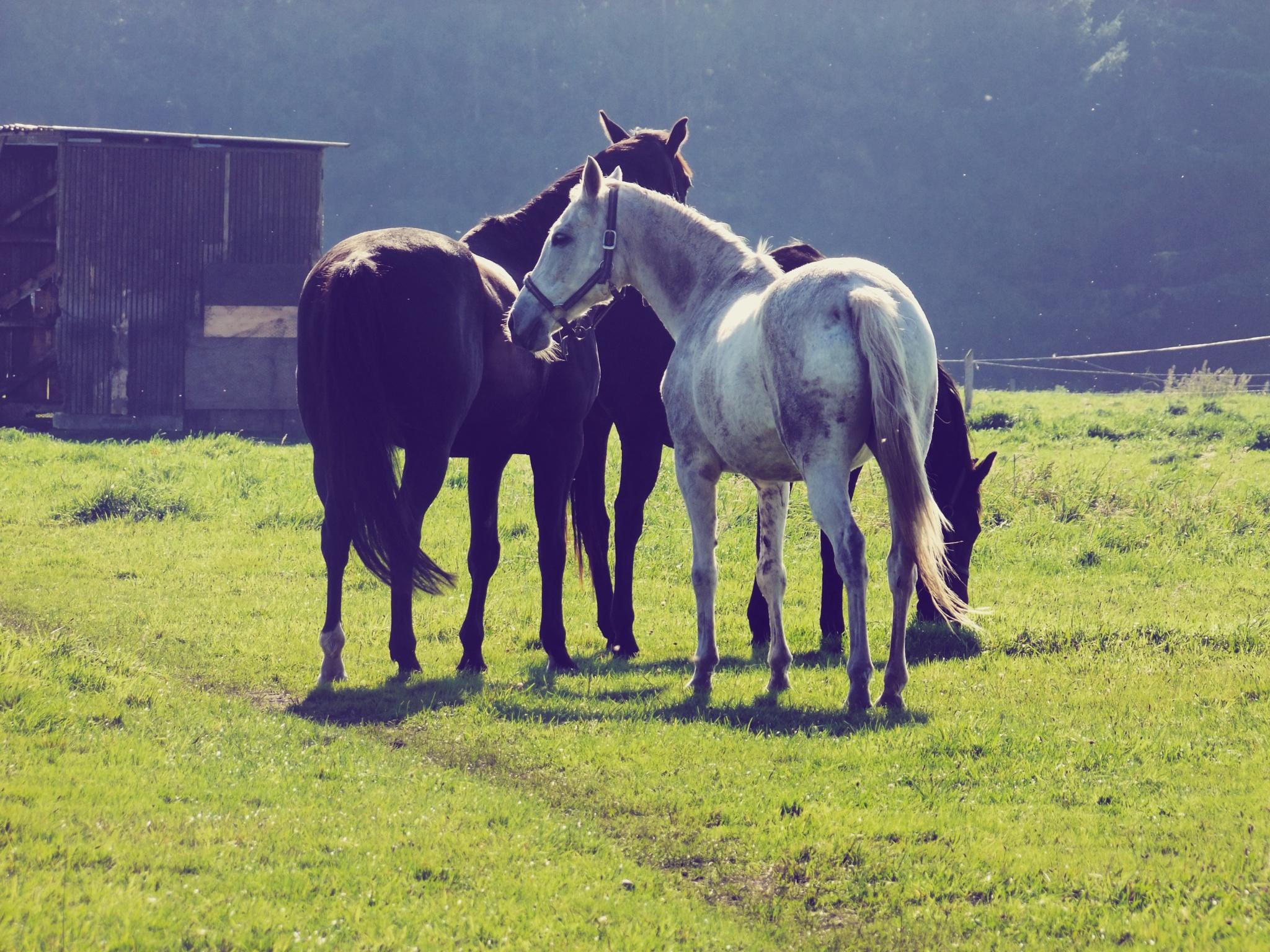 horses by Tareq Albaba