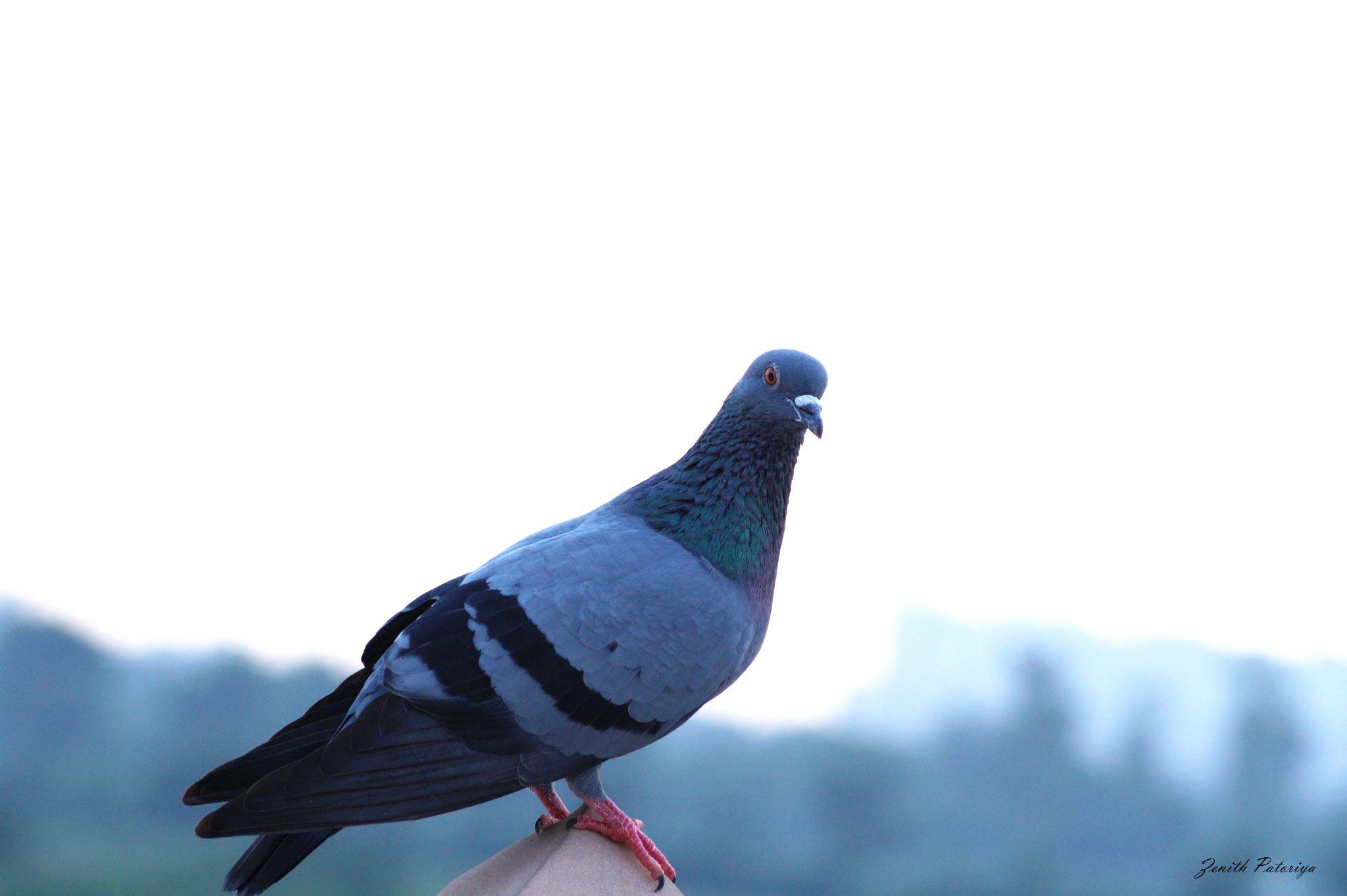 Dove by zenithpatoriya