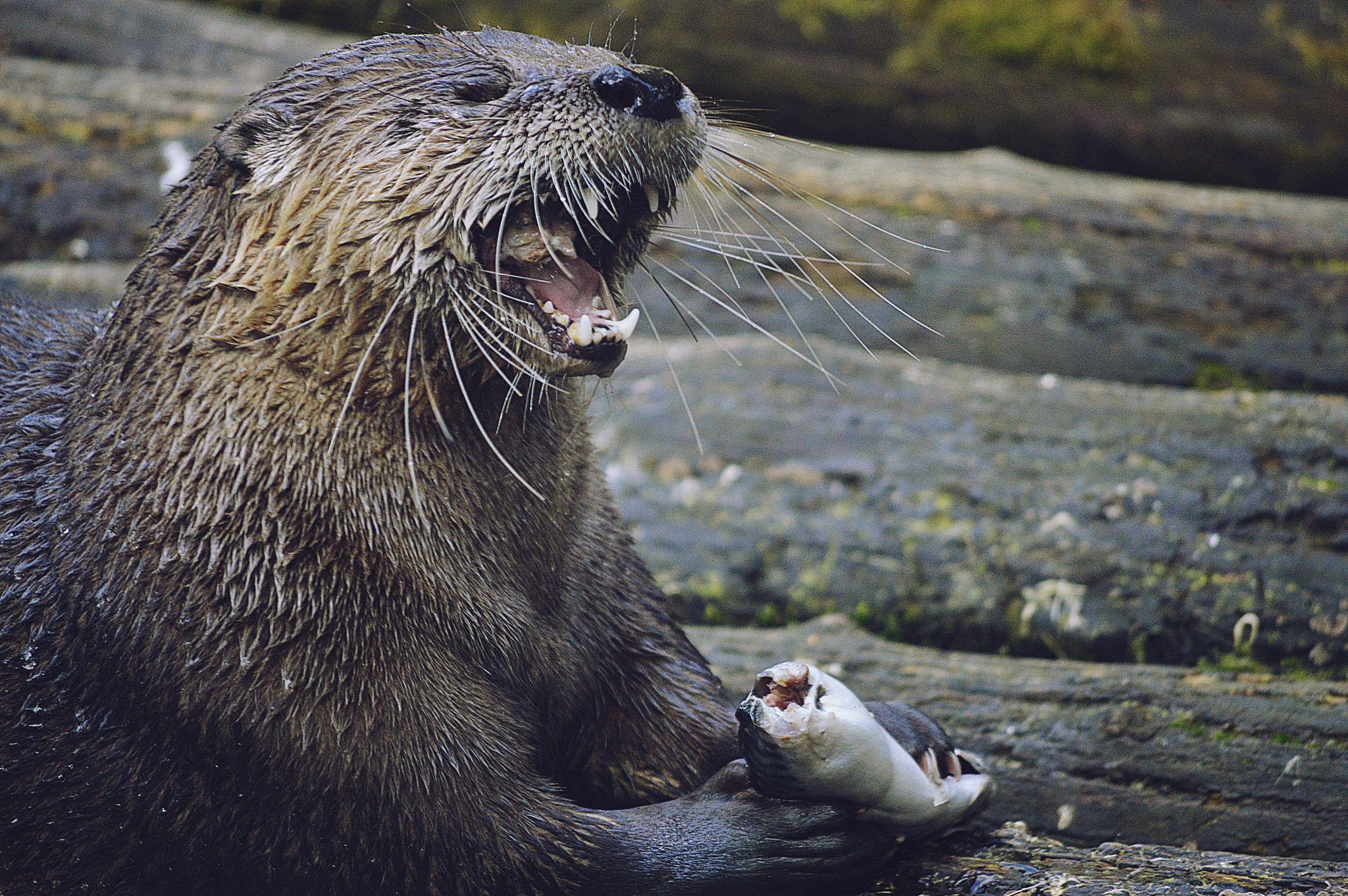otter  by Kamil Gaweł