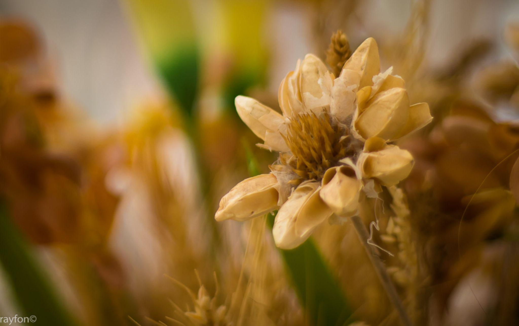 Dry Flower Bokeh by Rainiero Barra