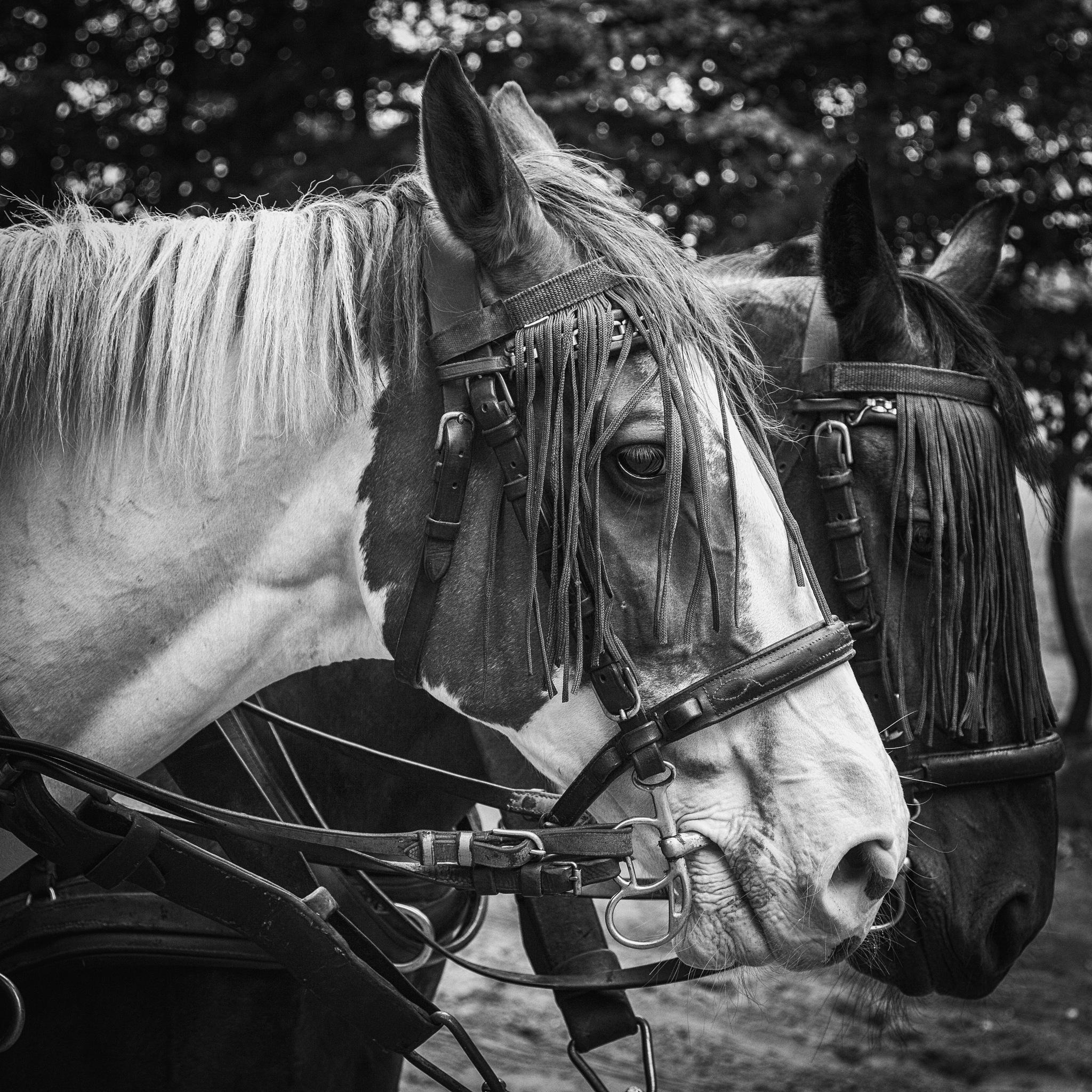 Horses by Stilfoto