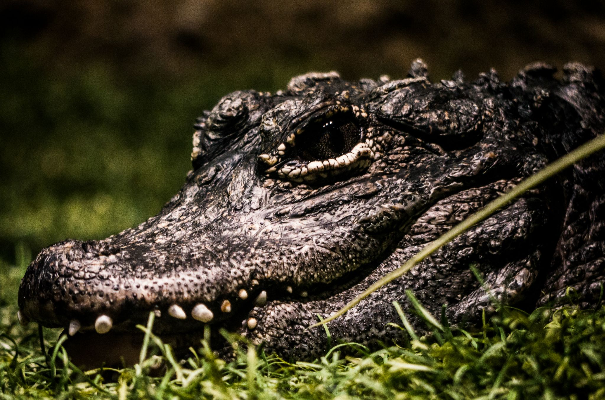 very still alligator  by jaden shillingford