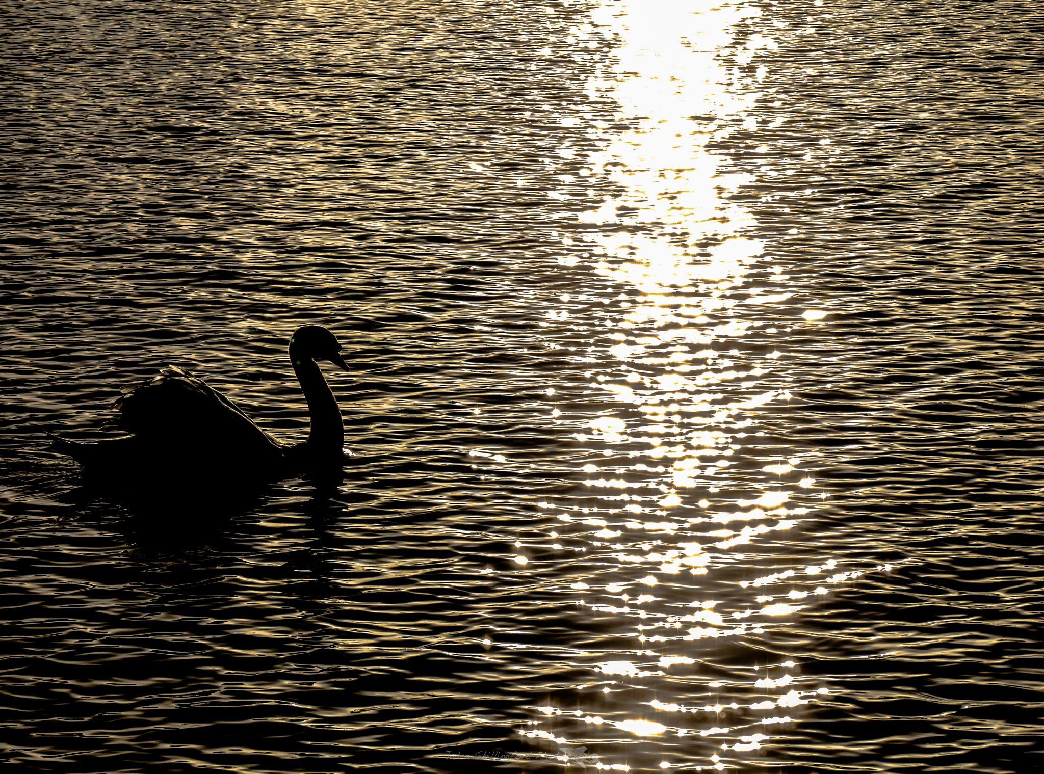 sunset swan by jaden shillingford