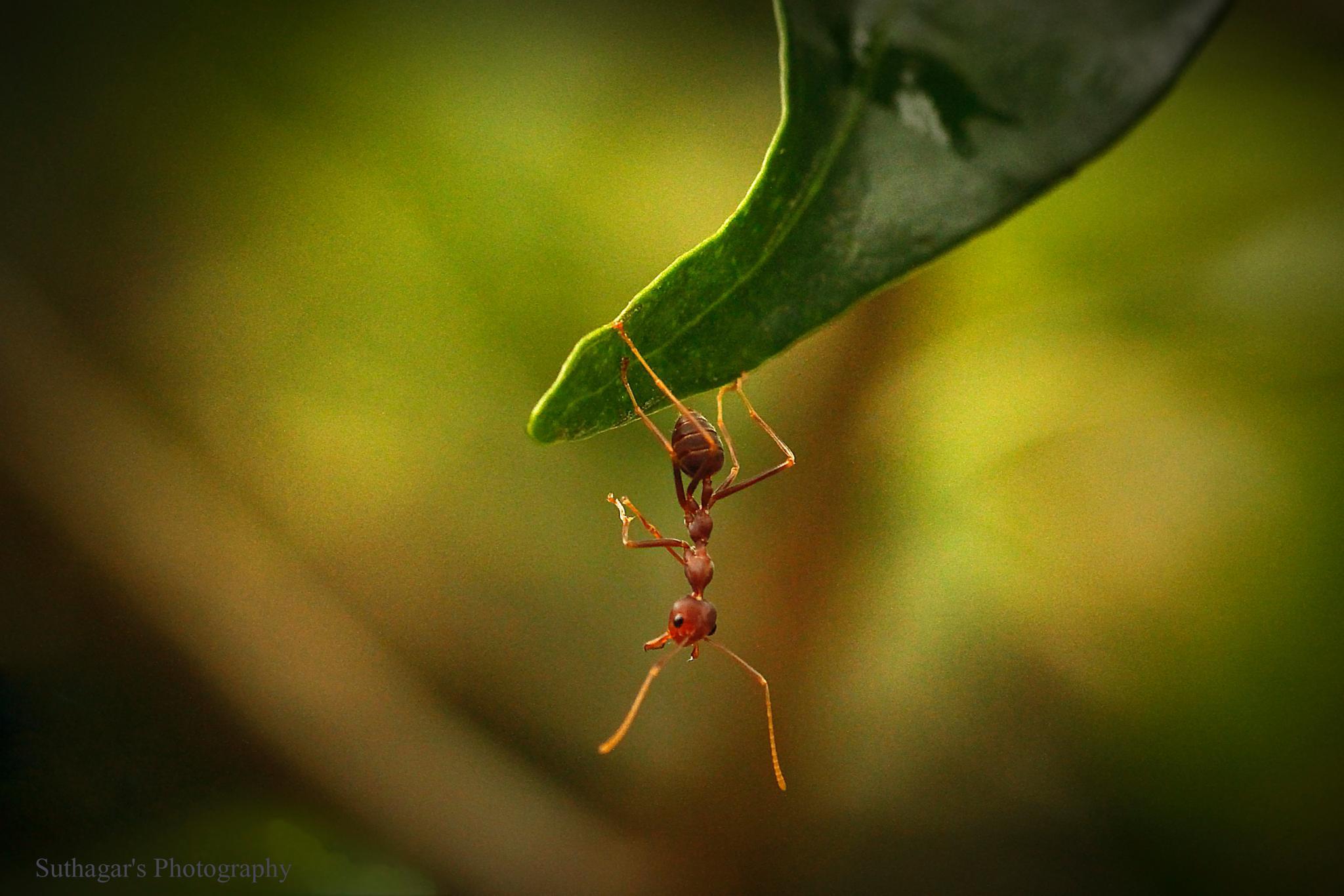 Acrobatic Ant by suthagar kotto
