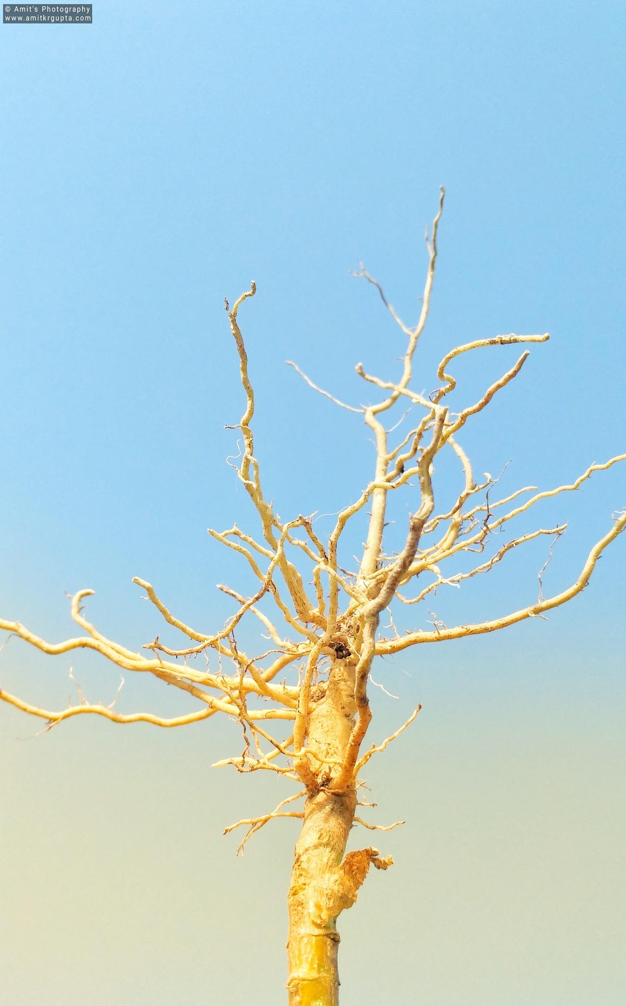 Dry Stem by AmitGupta