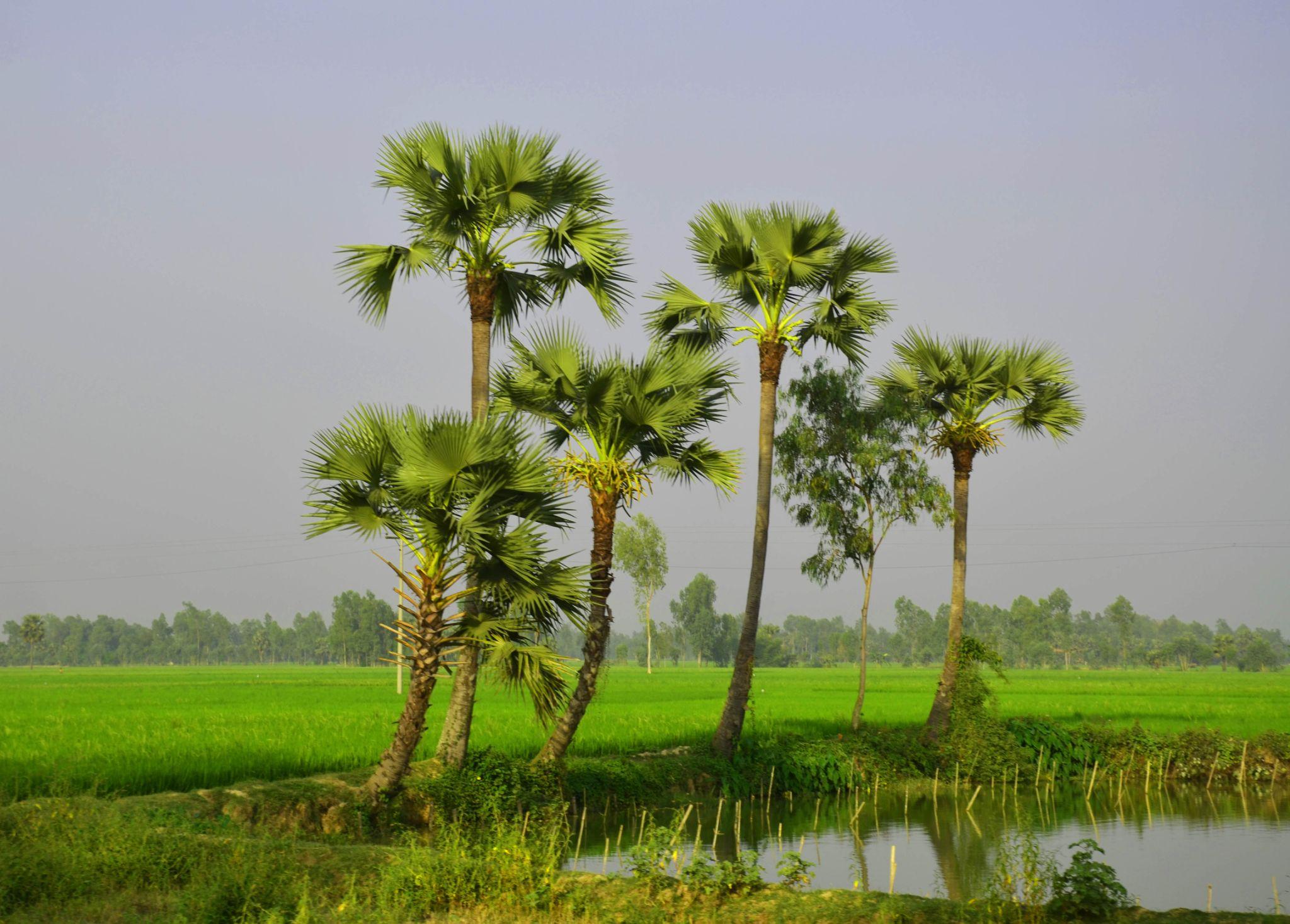 Palm Trees by Shafiqul Islam Shiplu Photography