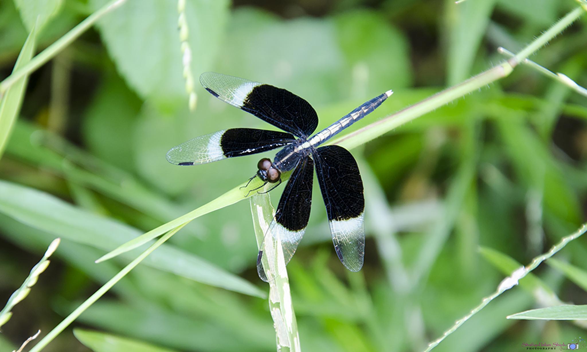 Dragonfly by Shafiqul Islam Shiplu Photography